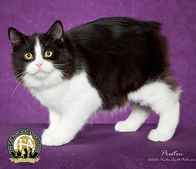black and white manx cat