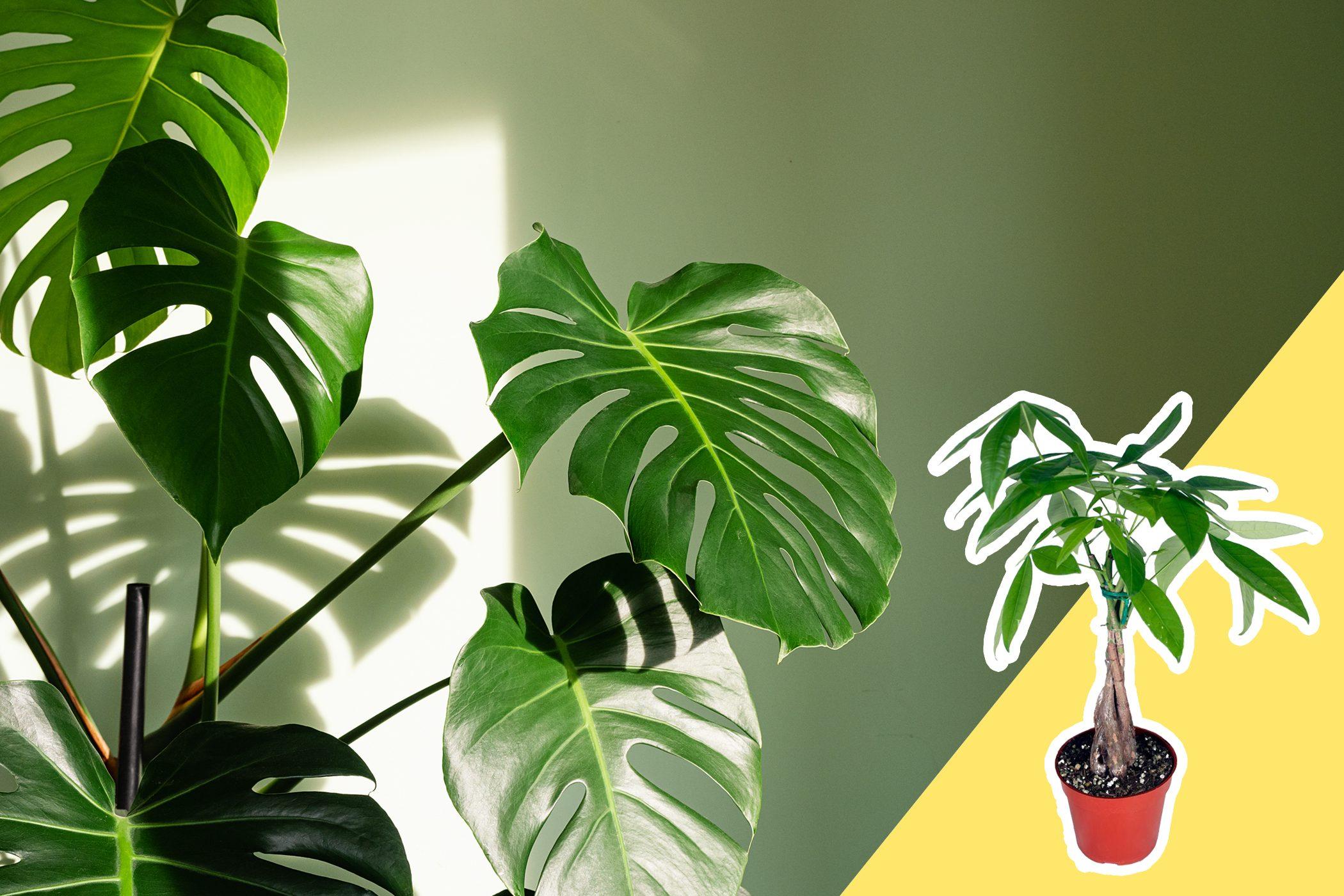 tall leafy houseplant