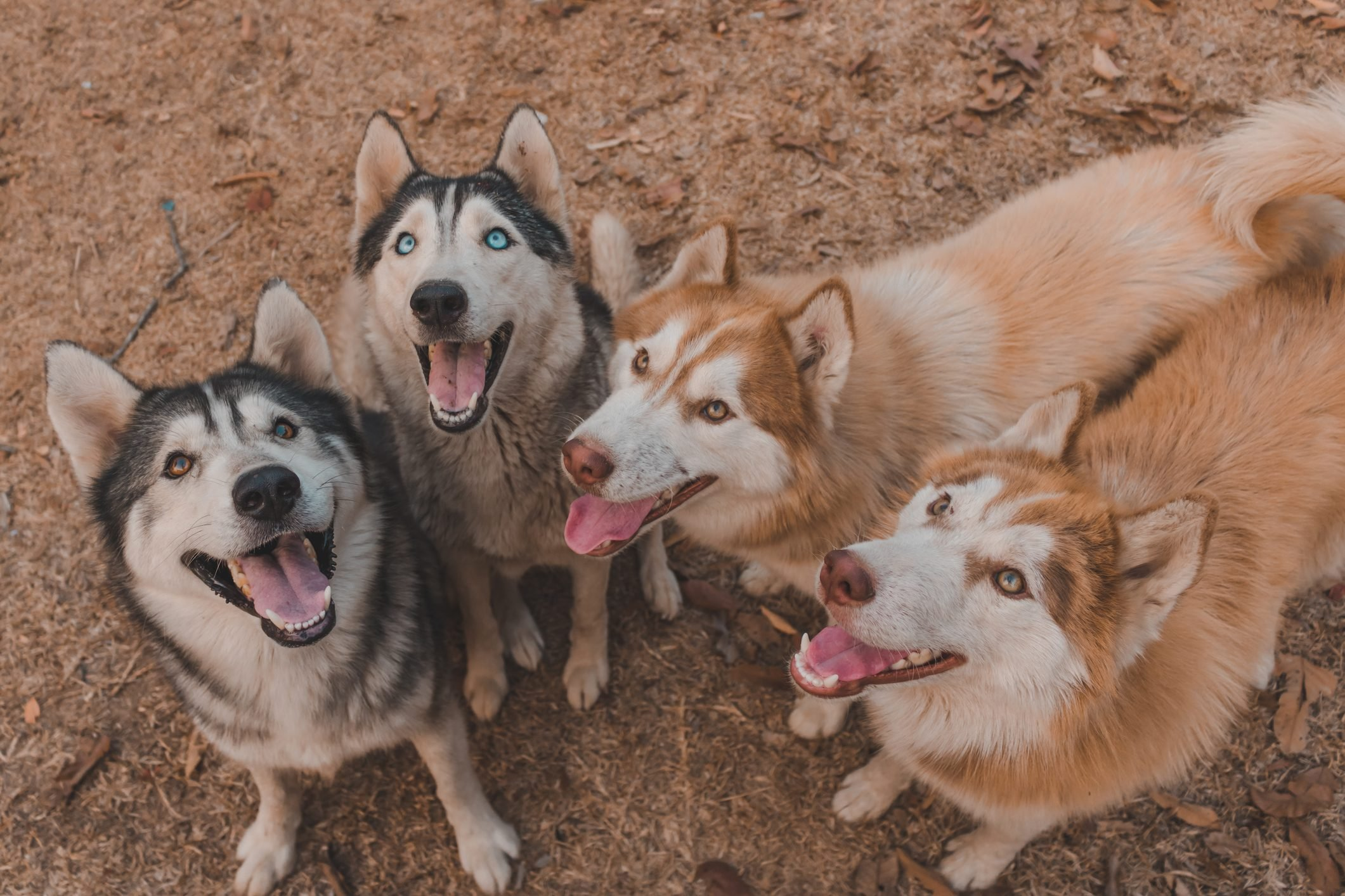 Siberian Husky Flocks Is Waiting For It's Boss To Give Food Because It Wants To Eat.
