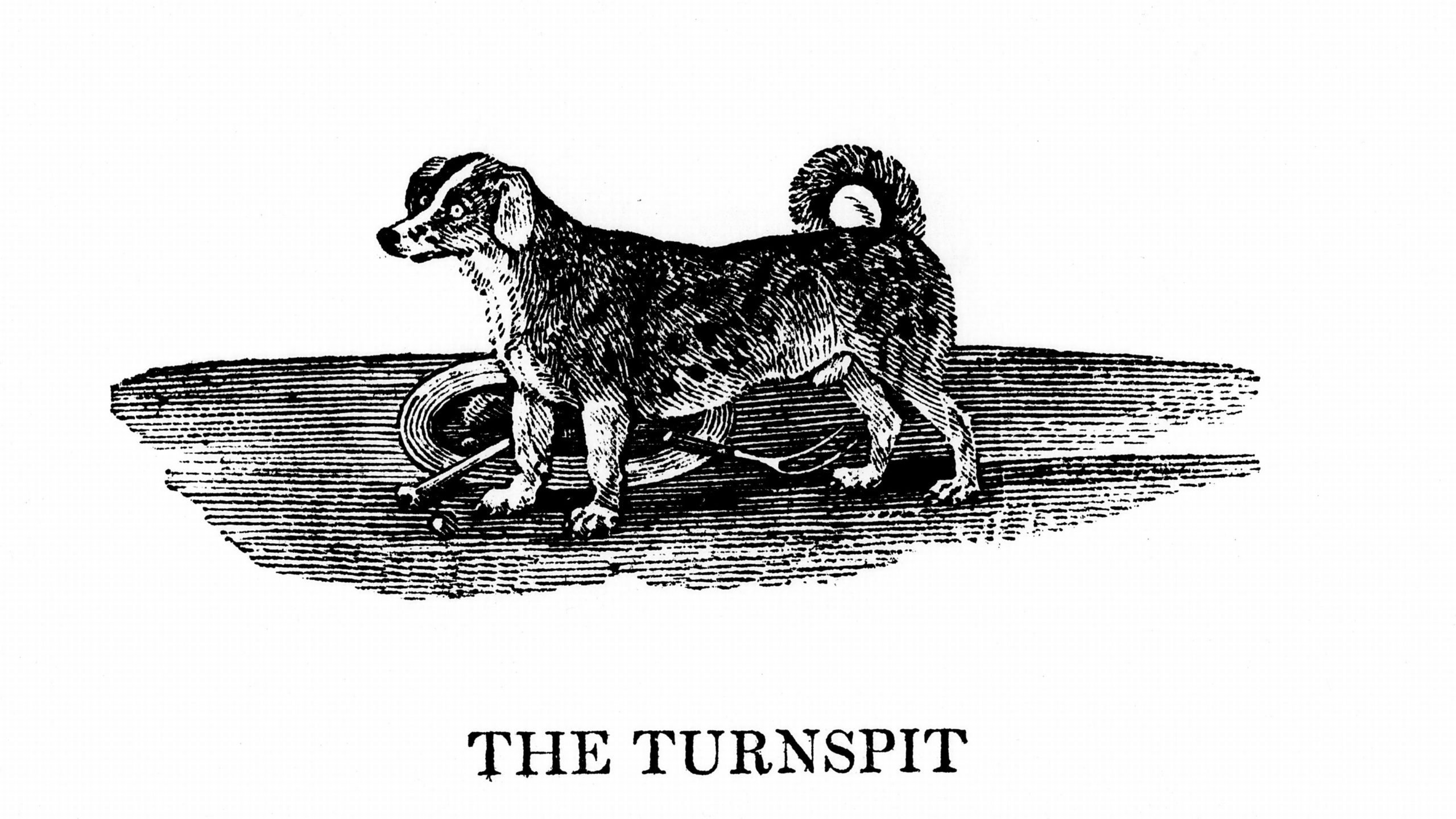 Turnspit dog. These short-legged dogs were bred especially to work in wheels turning cooking spits. By 1800 the breed had almost disappeared. From A General History of Quadrupeds by Thomas Bewick (Newcastle upon Tyne, 1790). Wood engraving. ...