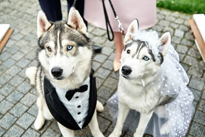 Siberian husky dogs couple with bride and groom costumes