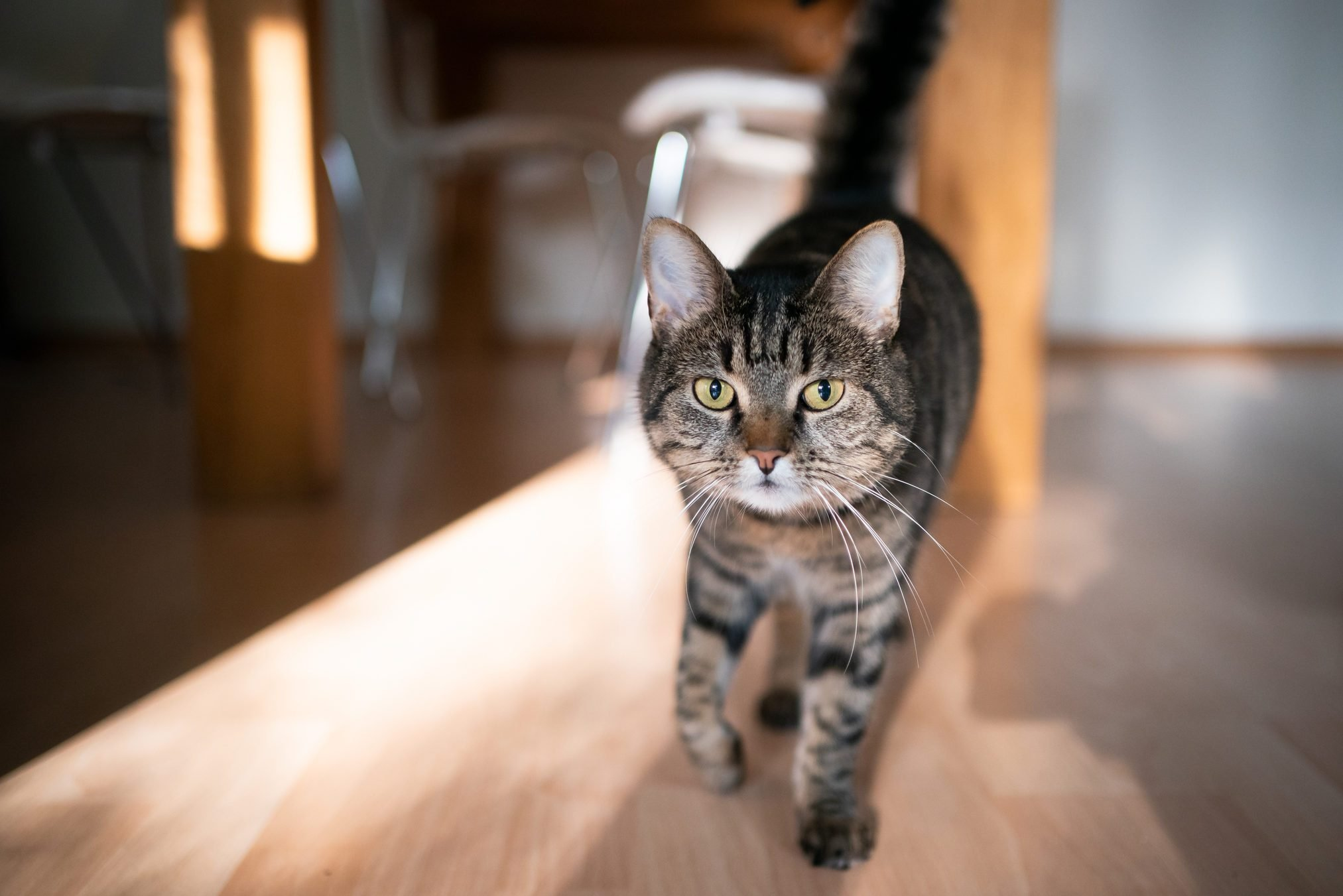 tabby cat indoors