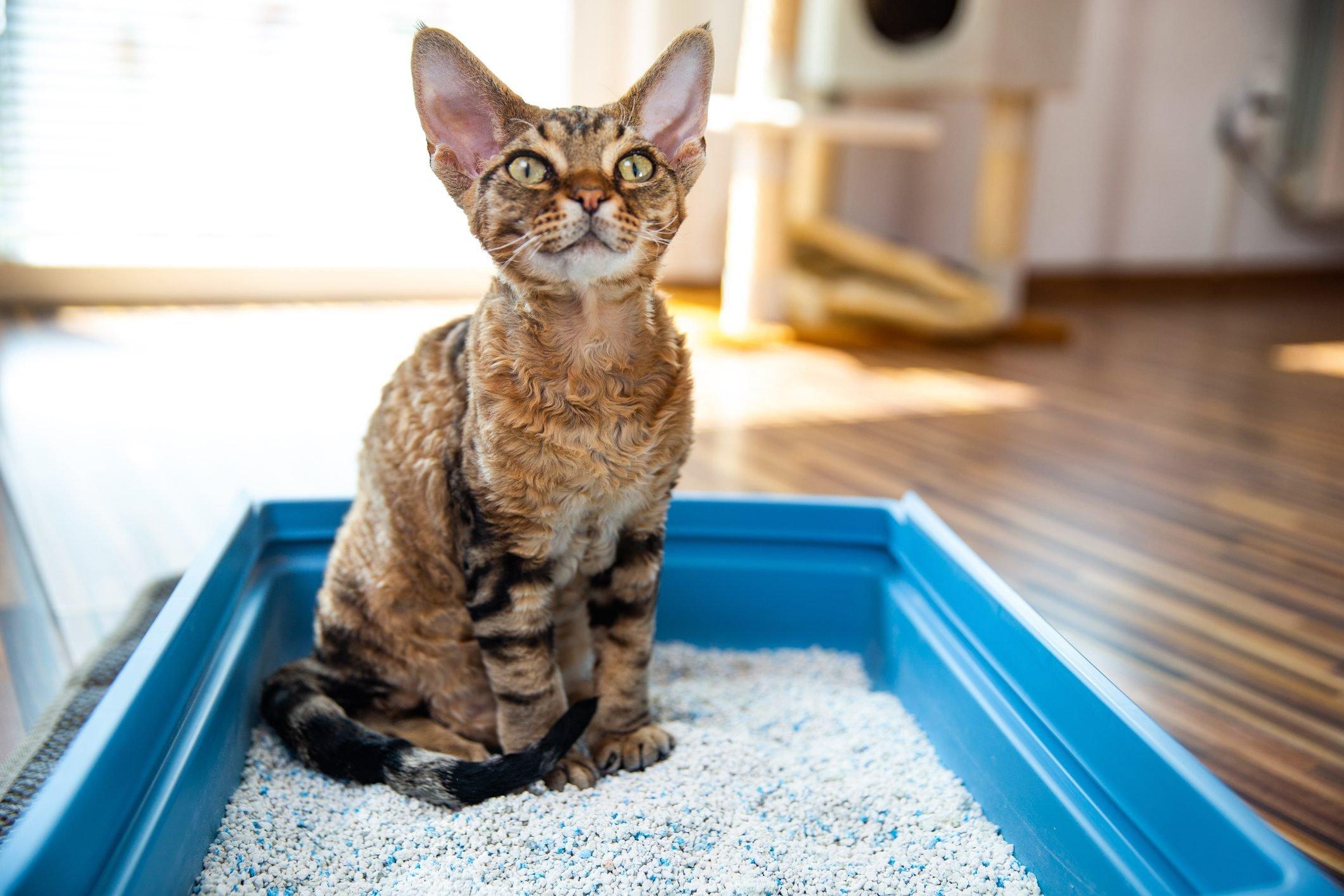 Obedient Devon Rex Cat Sitting in Litter Box in Living Room - stock photo