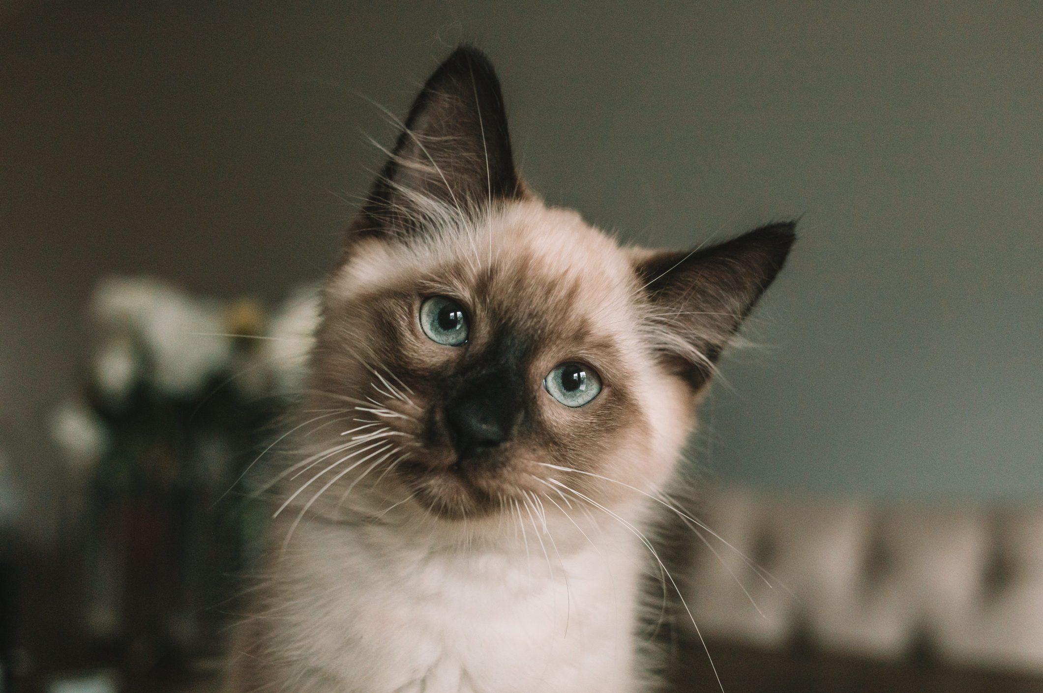 Blue eyed Siamese kitten sitting on table