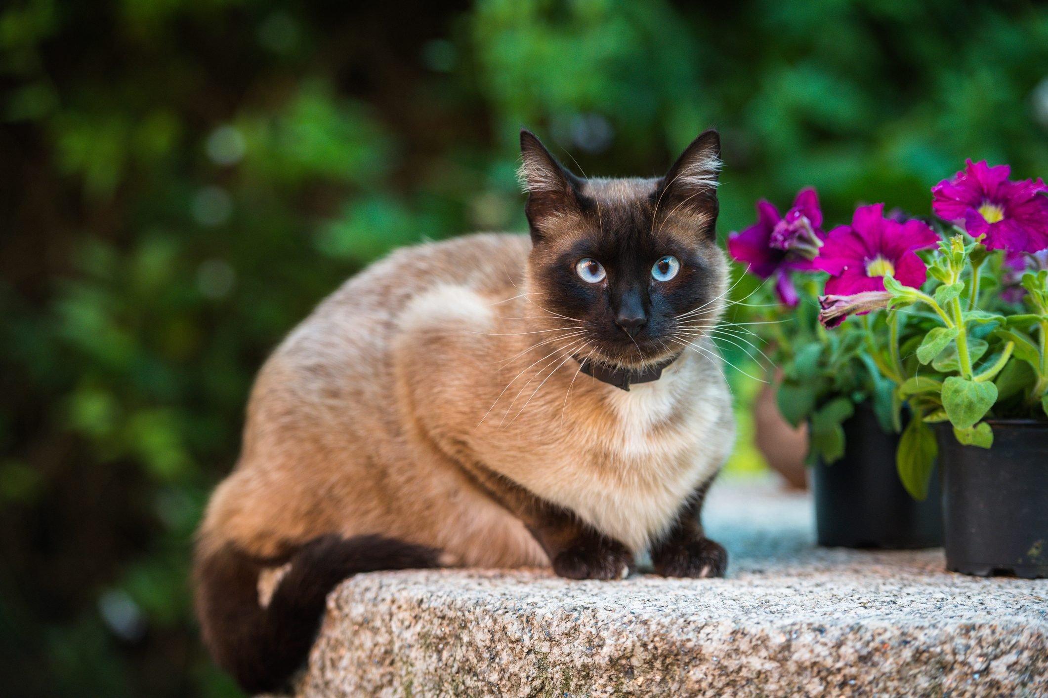 Domestic Siamese cat