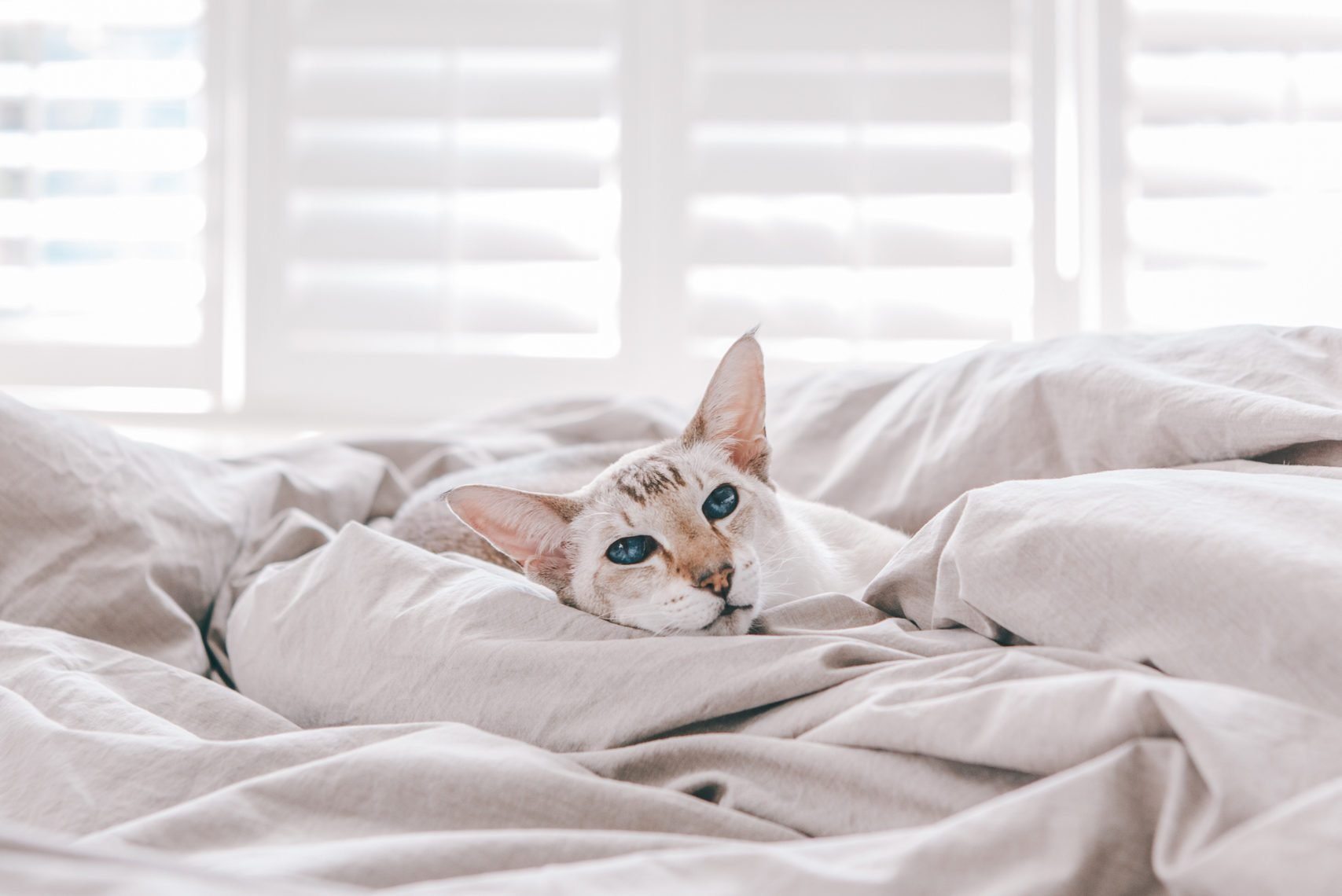 Beautiful blue-eyed oriental breed cat lying resting on bed at home looking at camera. Fluffy hairy domestic pet with blue eyes relaxing at home. Adorable furry animal feline friend. Domestic life.