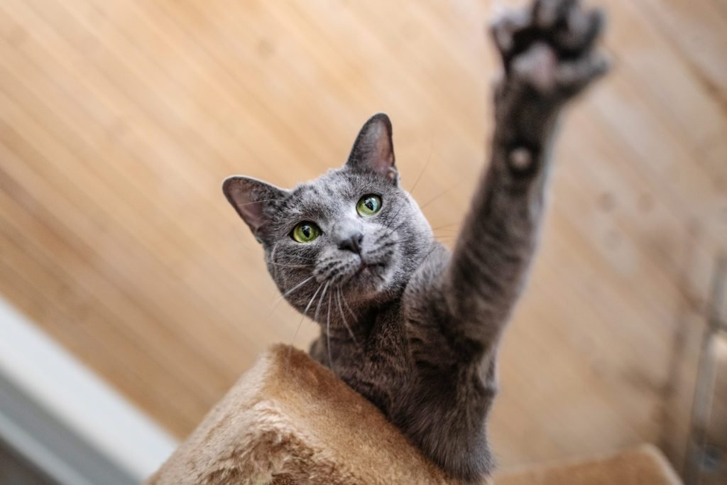 Which Cat Breed is Perfect For You?