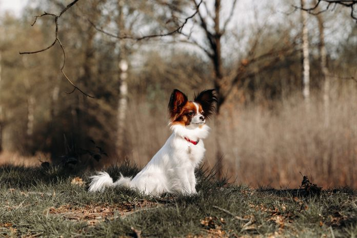 Portrait Of A papillon dog outside