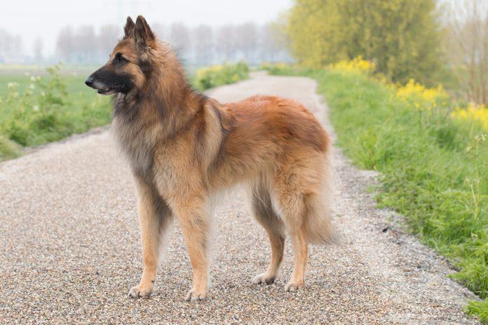 Belgian Shepherd Tervuren dog, standing