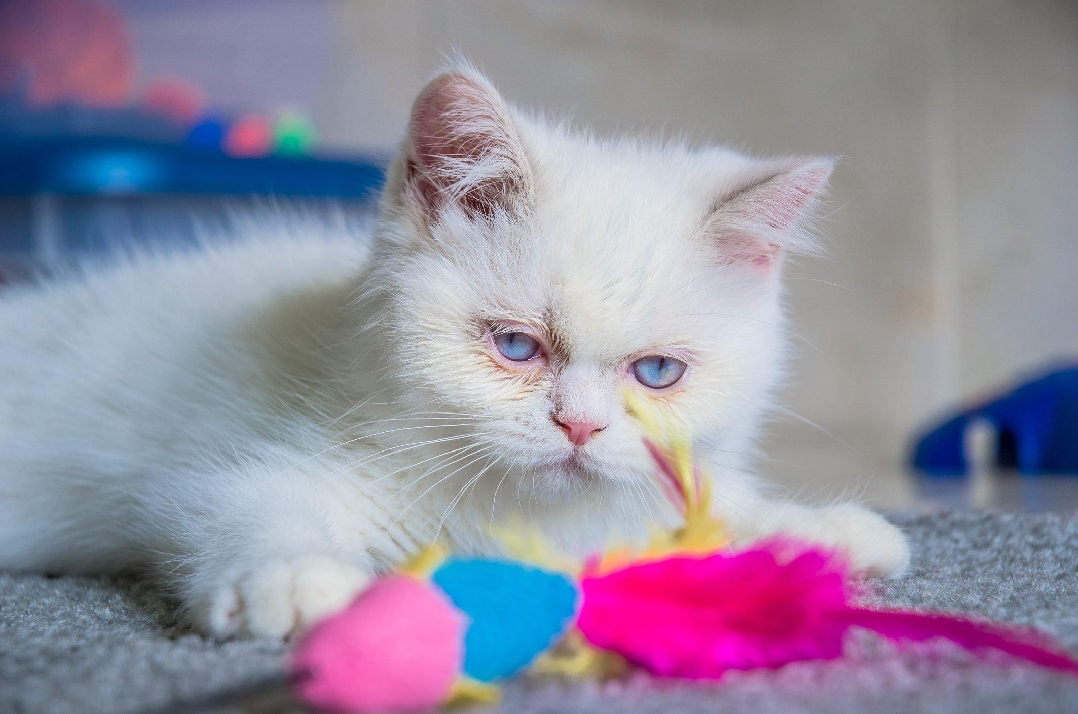 Napoleon kitten (Minuet) playing toy