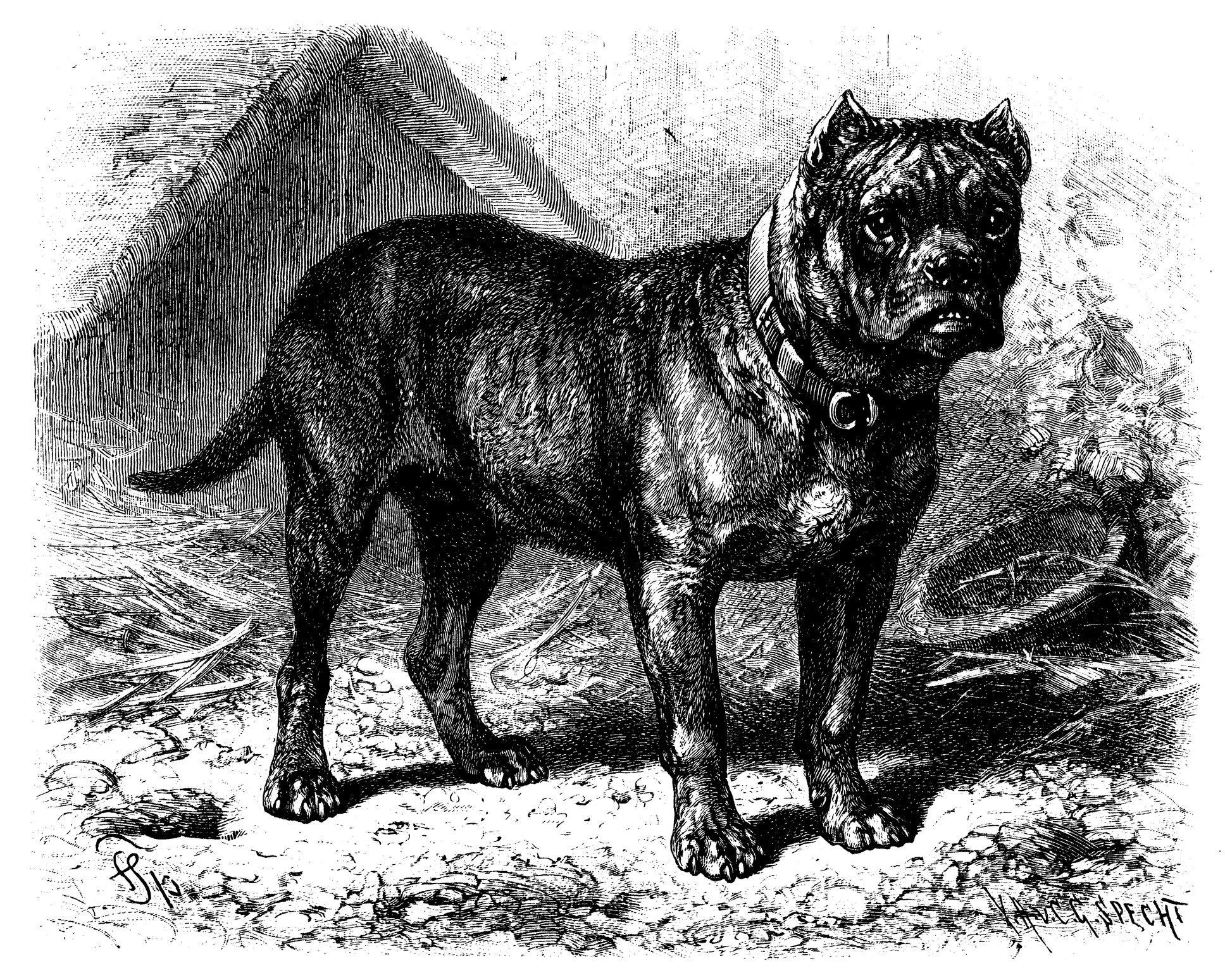 Antique illustration of Bullenbeisser (German Bulldog)