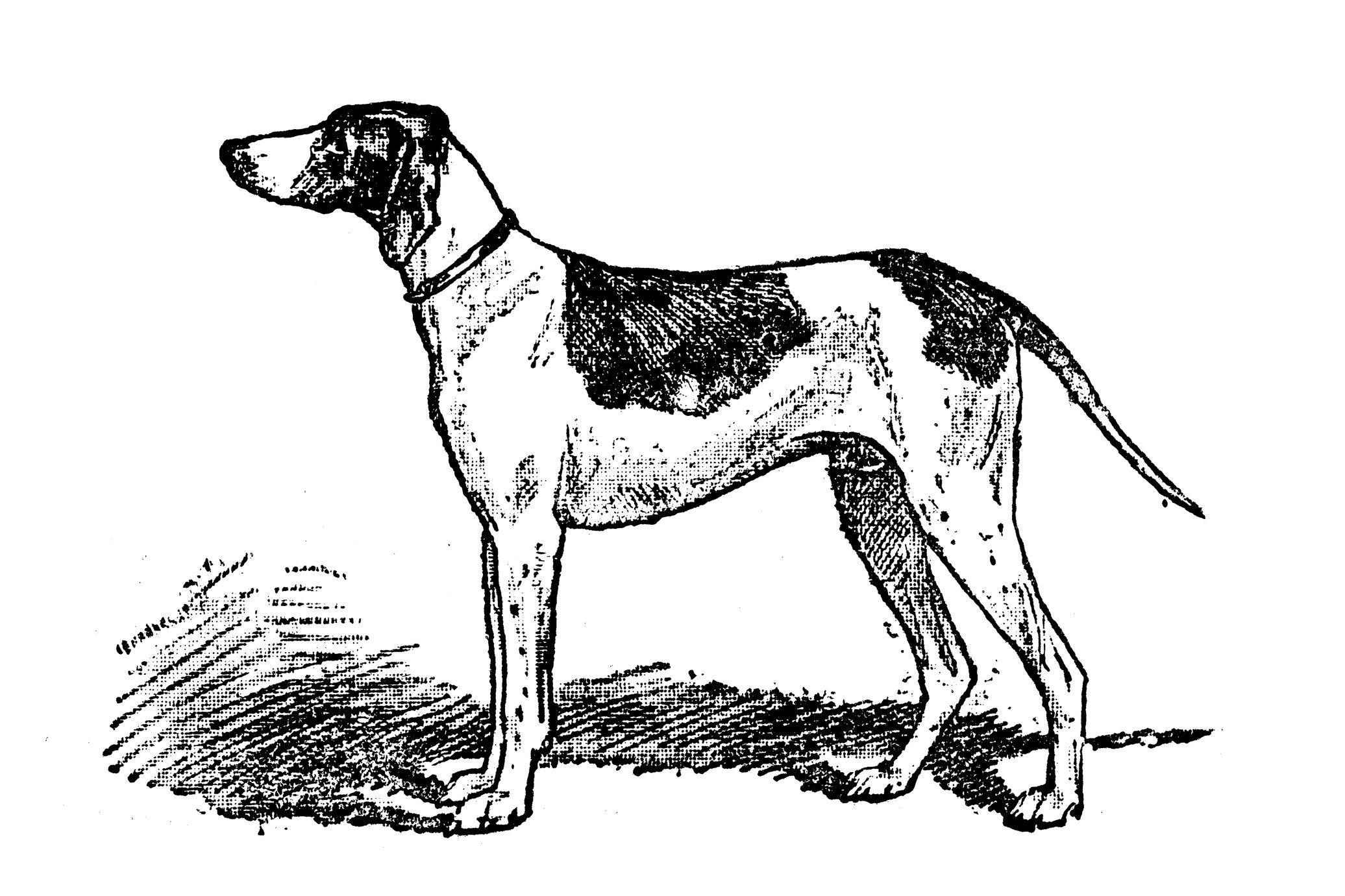 Antique illustration of dog (Braque du Puy)