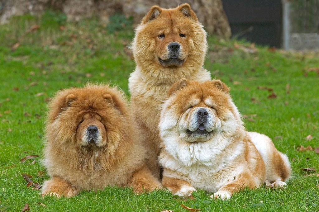 Chow chows, Canis familiaris