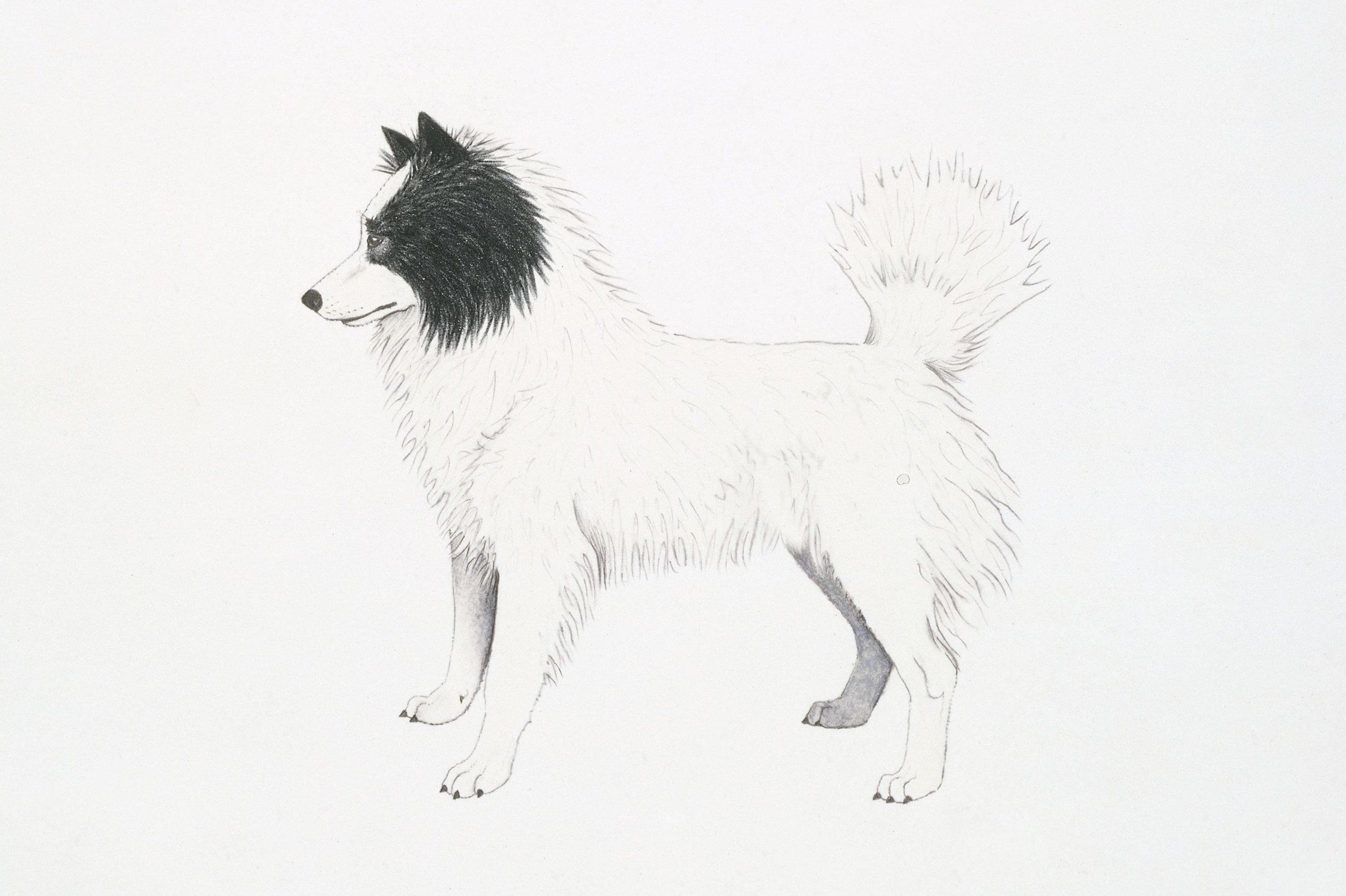 Tahltan Bear Dog, illustration
