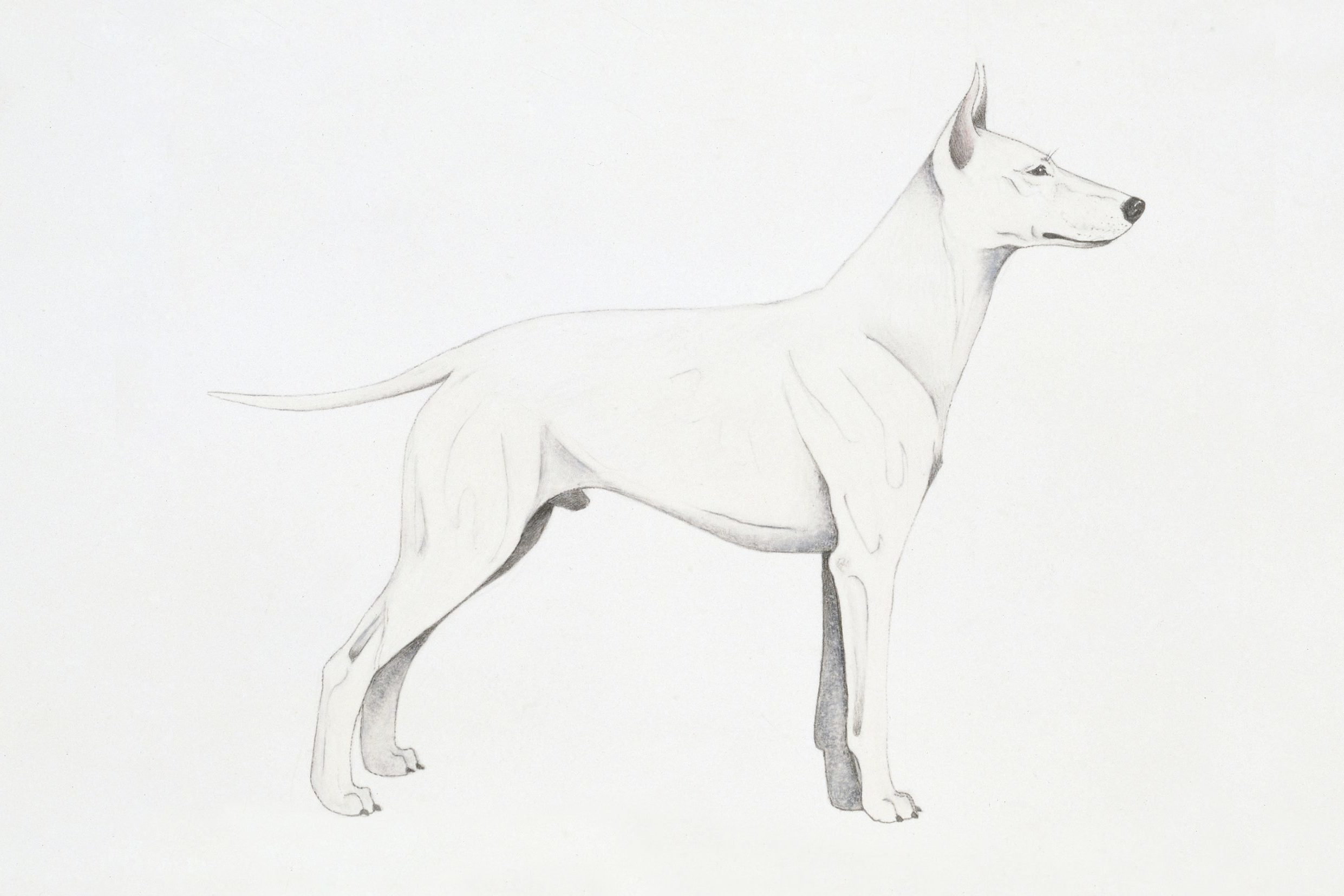 White English Terrier, illustration