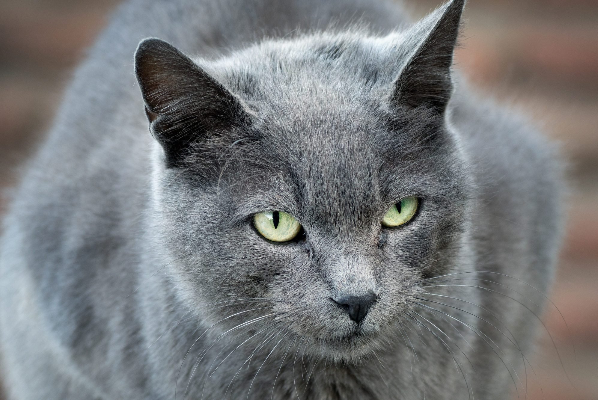 Grey cat with intense green eyes
