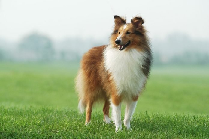 collie standing in grass