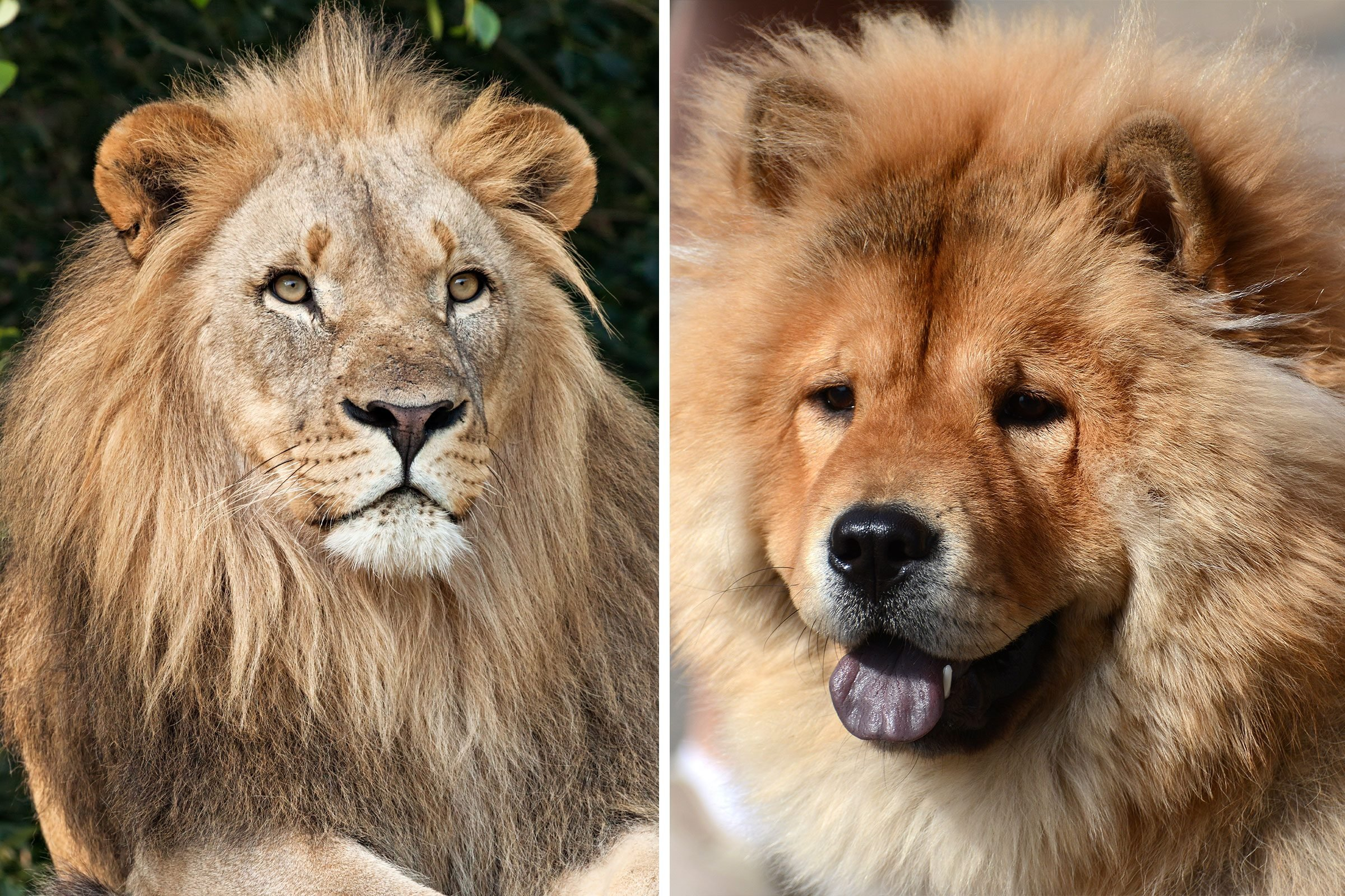 Fluffy dog compared to a lion
