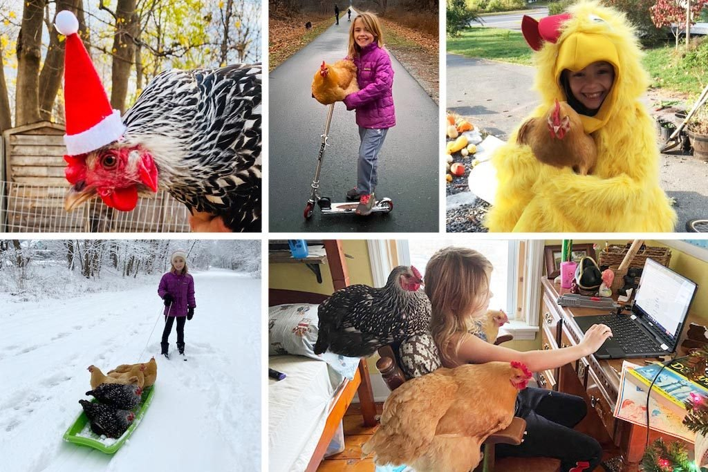 Sophie and the chickens: a chicken with a santa hat; sophie with a chicken on the handlebars of her scooter; sophie dressed as a chicken for halloween; sophi pulling chickens in a sled; sophie working on remote schooling with chickens nearby