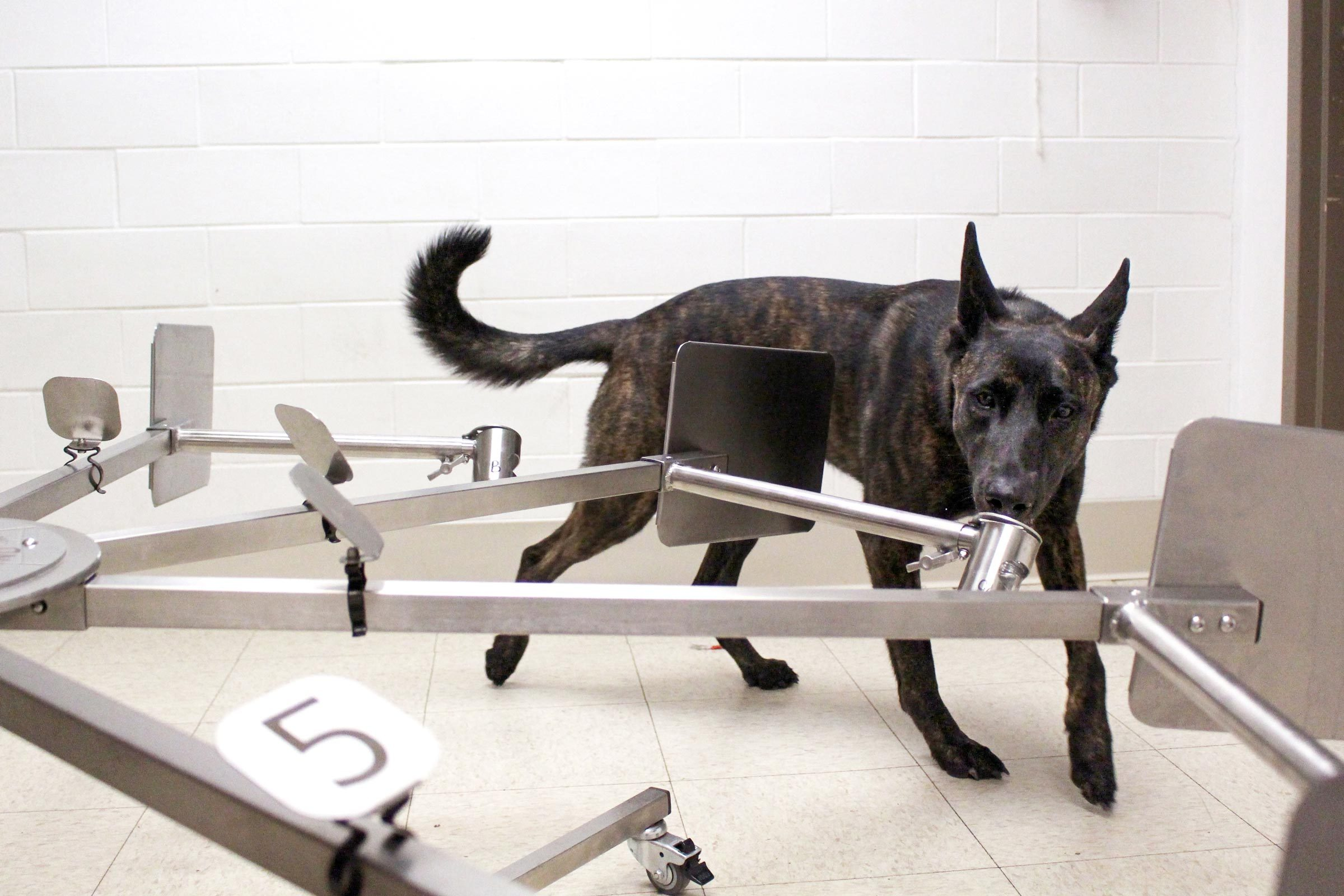 a dog learning to detect traces of cancer on the scent wheel