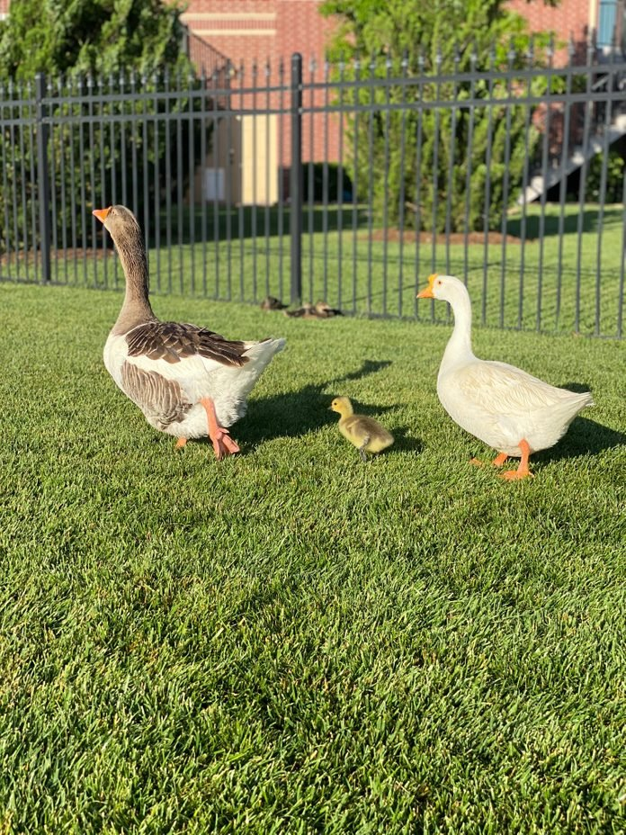 duck family walking around