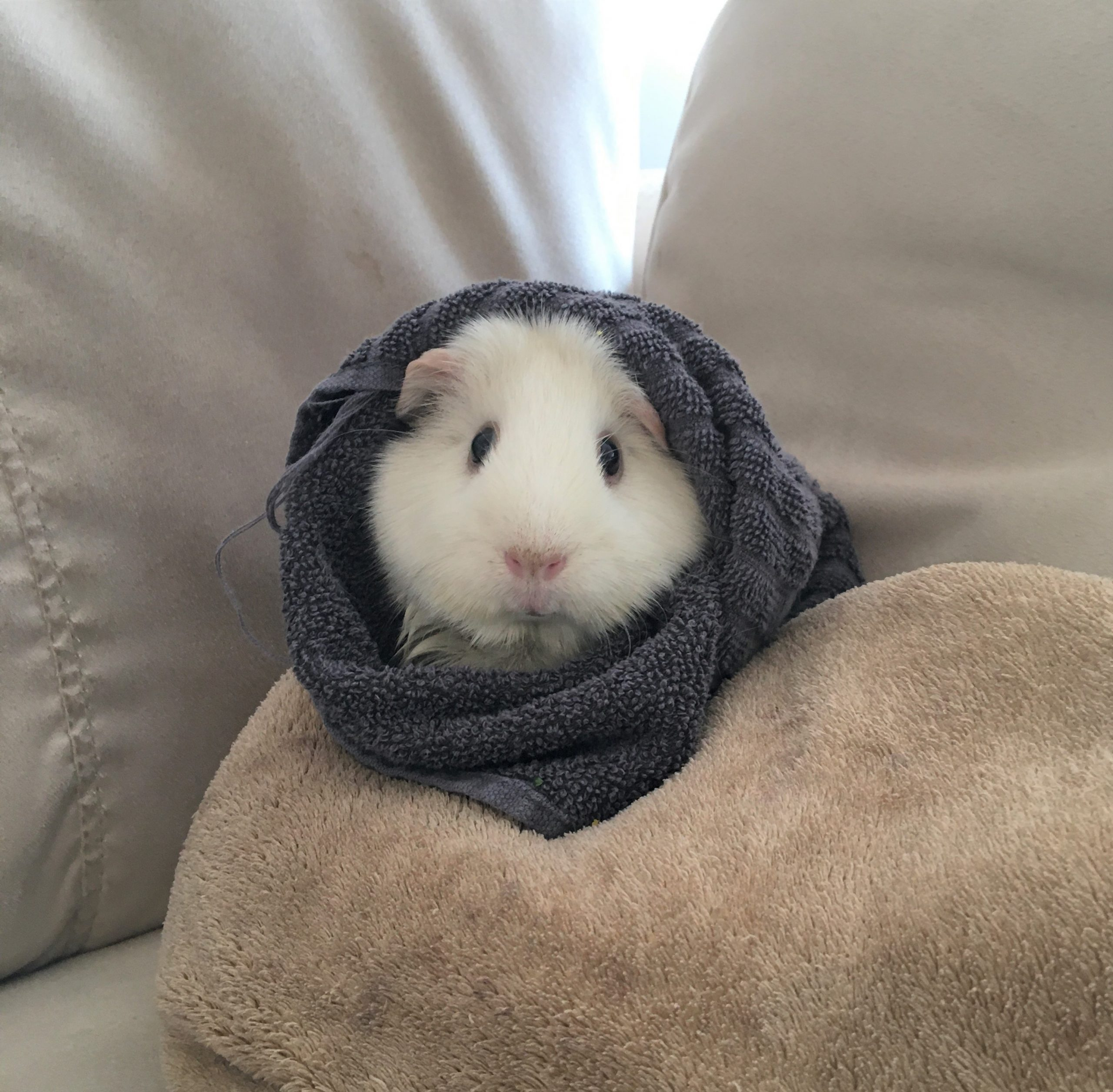 guinea pig wrapped up warm and cozy