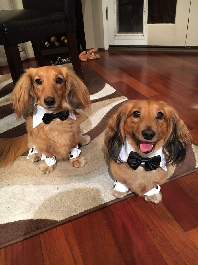 dashing dachshunds in suits