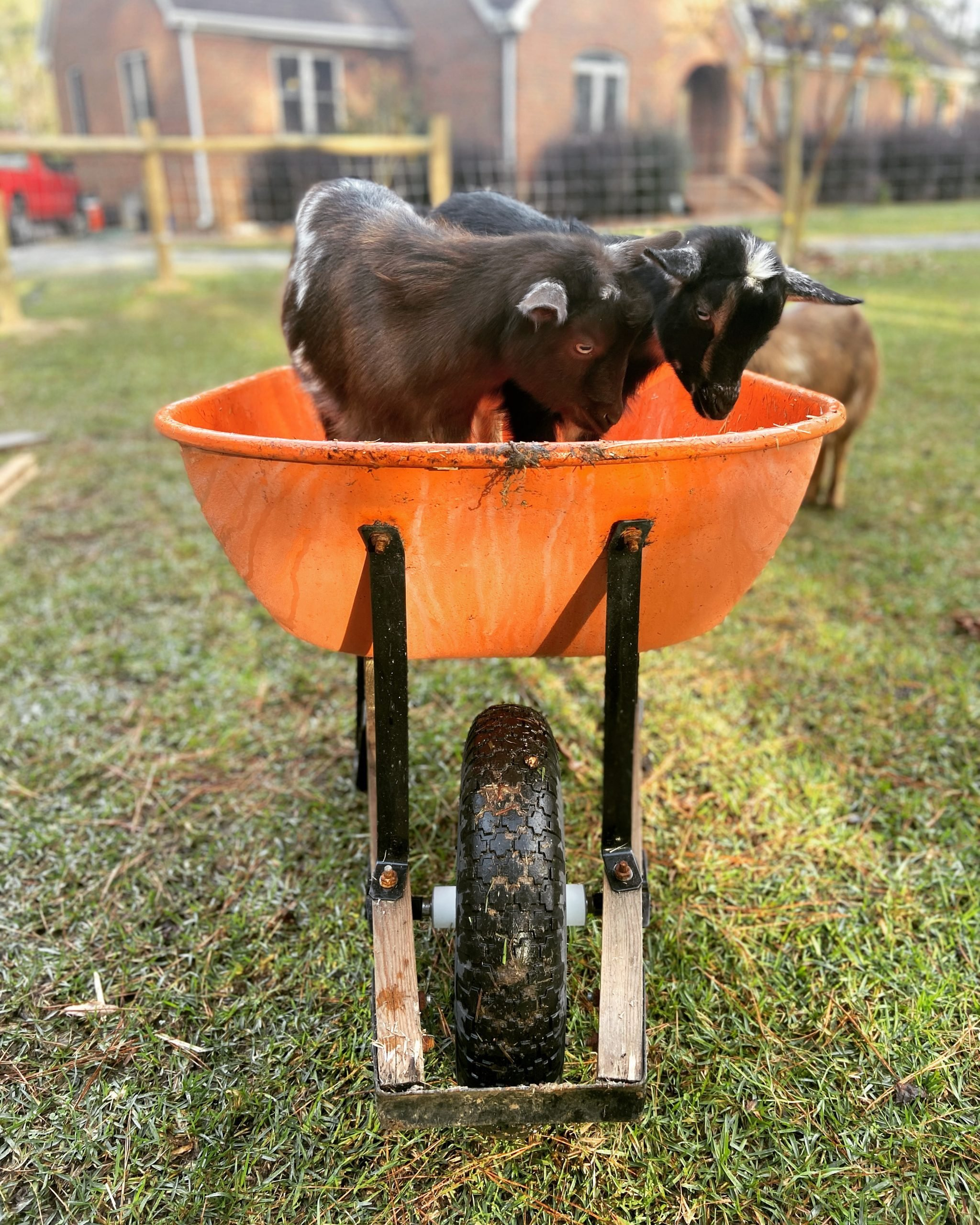 goat friends playing