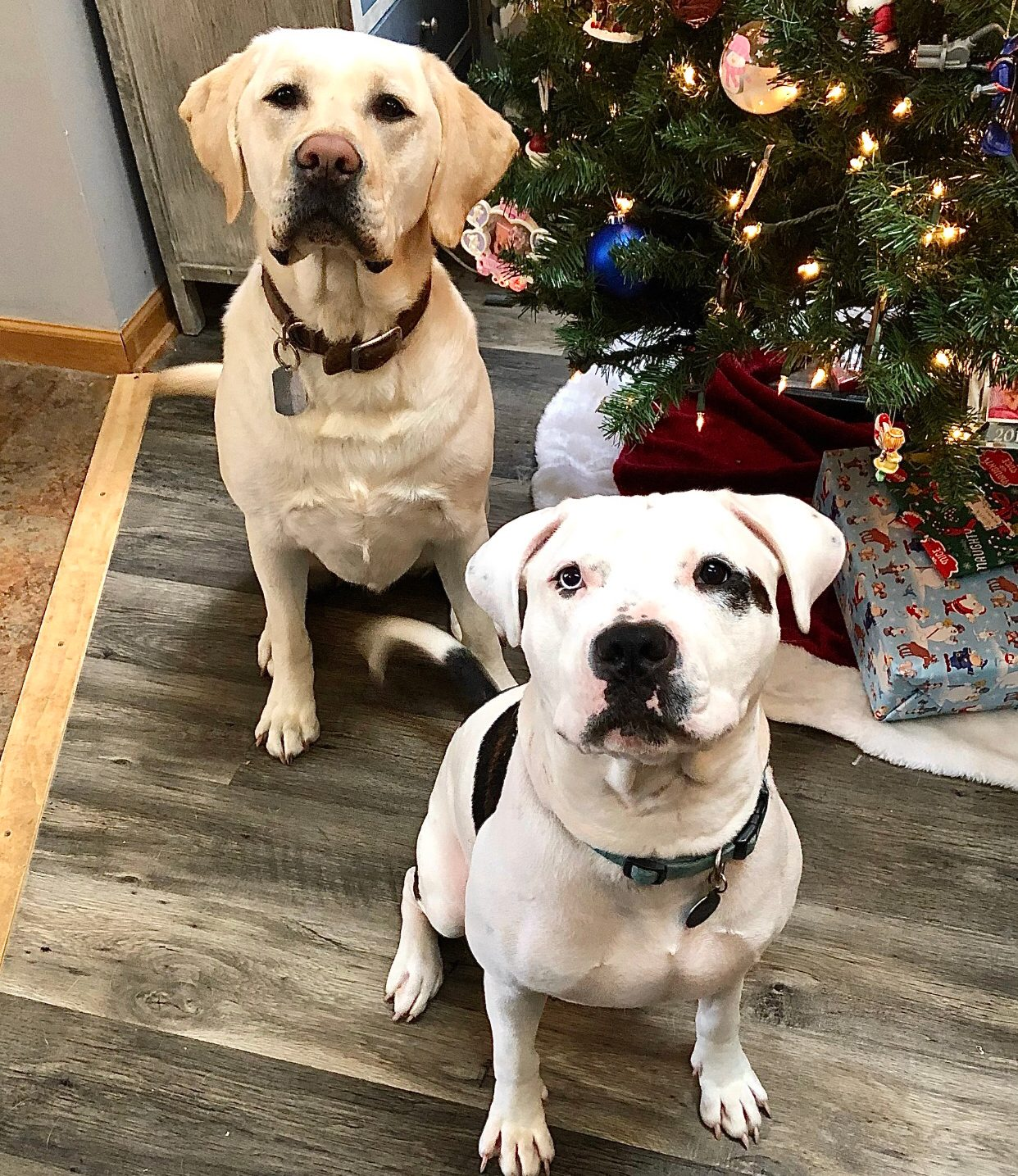 two large dogs sitting near christmas tree