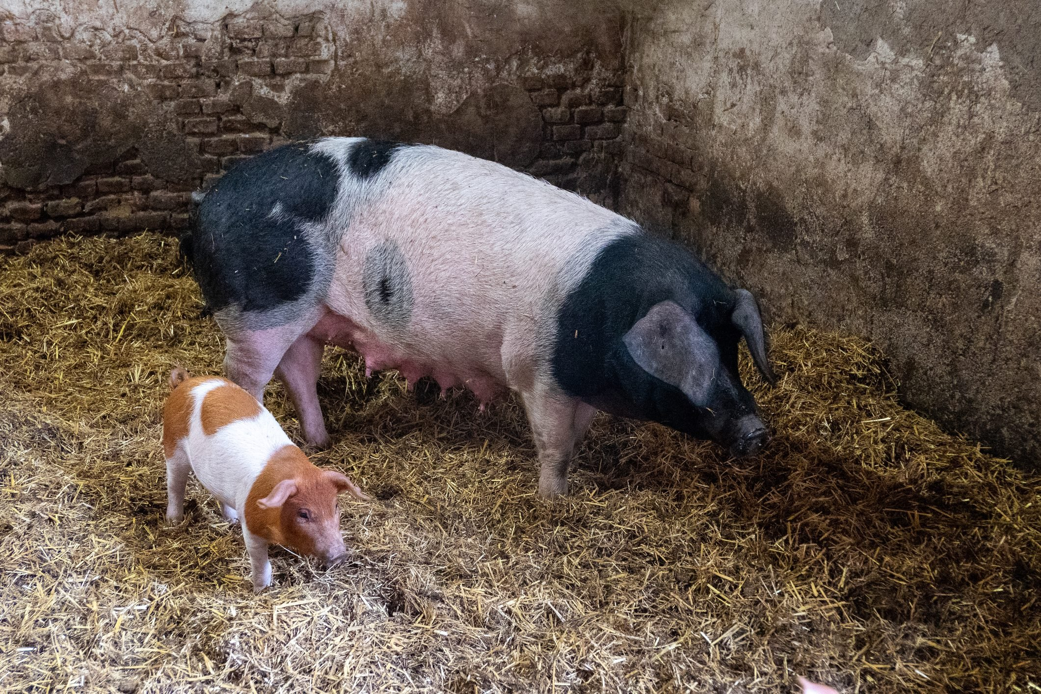 pig and piglet in a sty