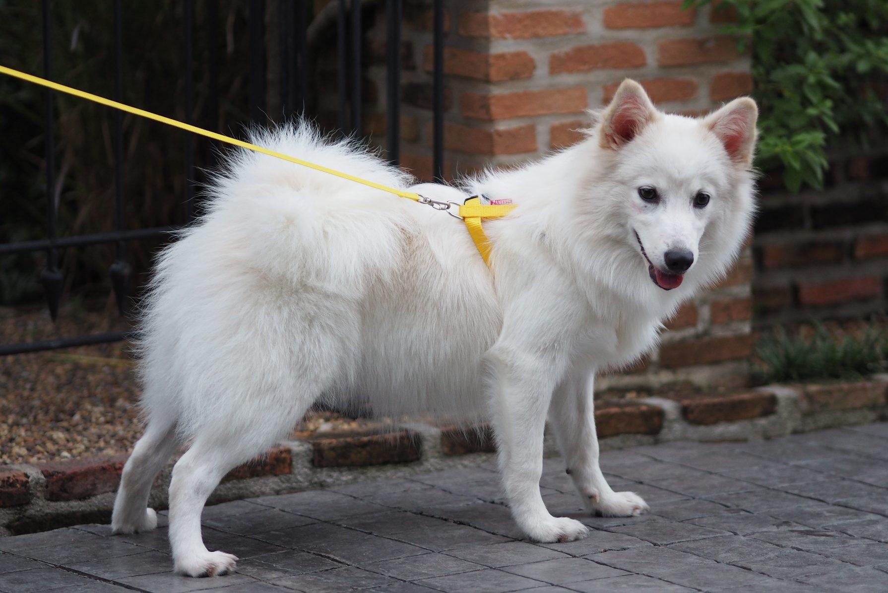 White dog,Japanese spitz Cute Pets