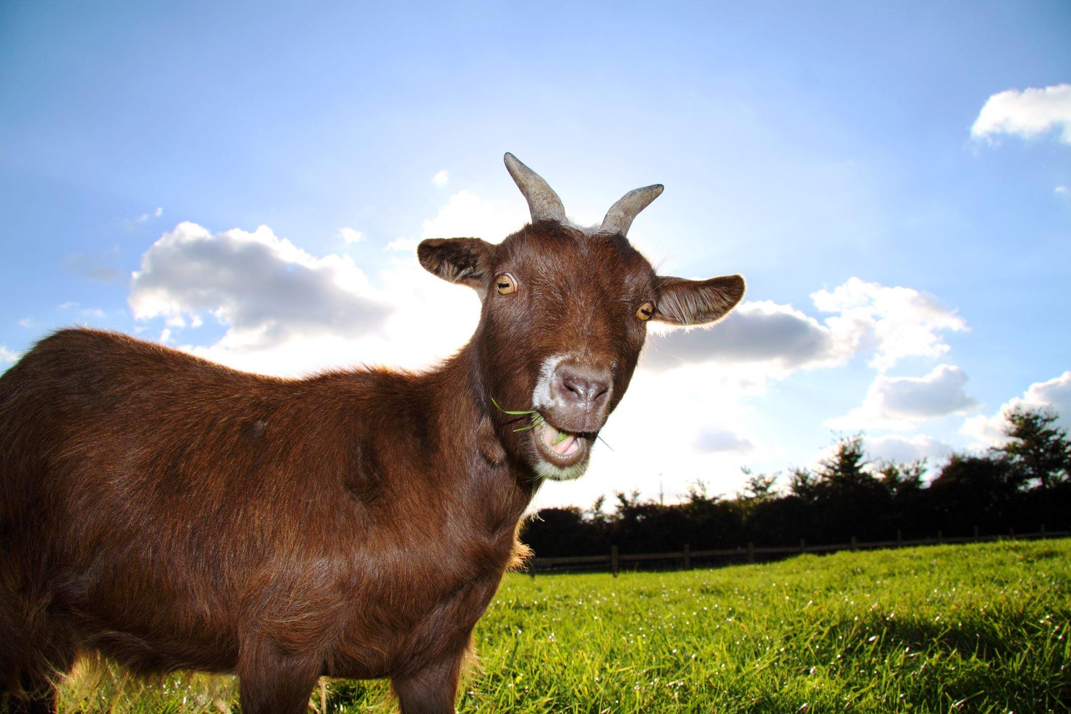 A cute farm pigmy goat pulls a fun expression