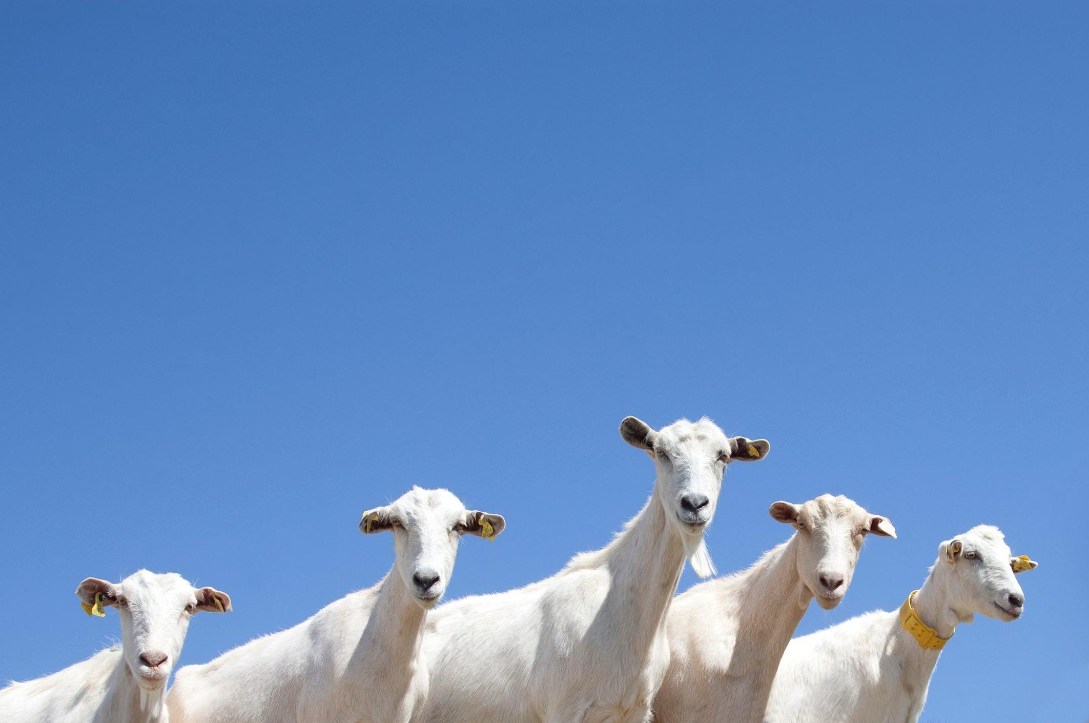 Goats staring.