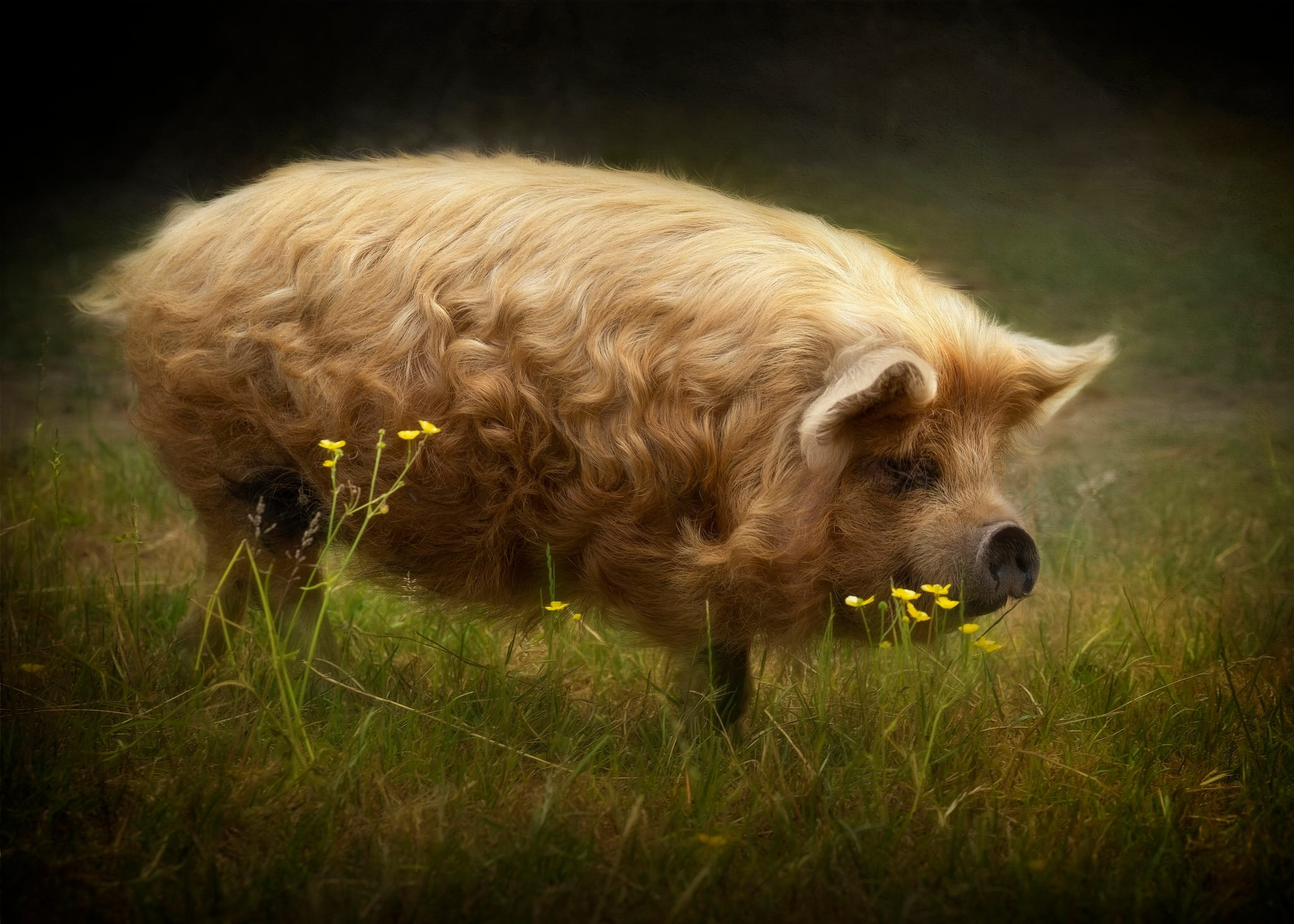 Kunekune pig with golden locks strolls through pasture