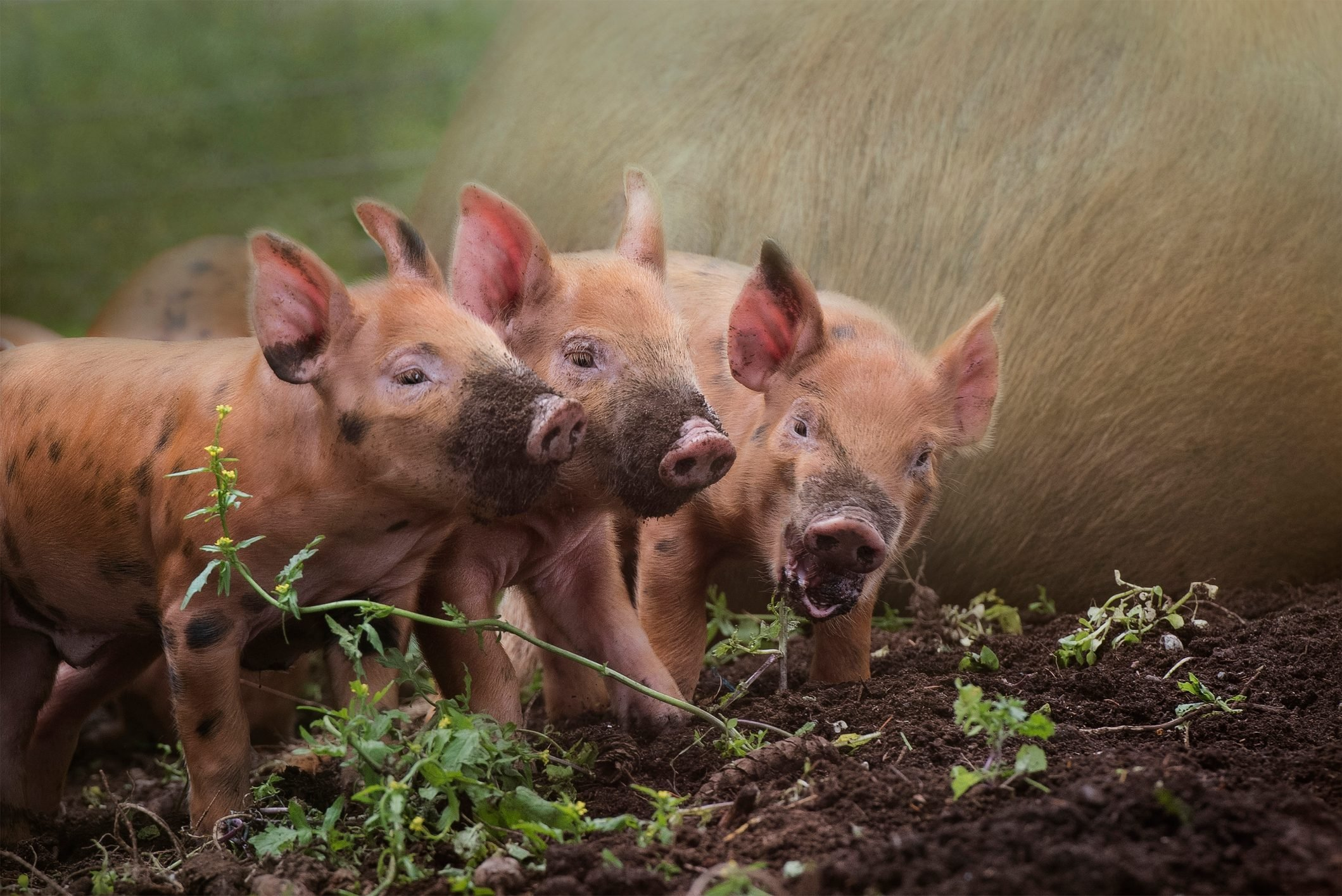 three little red piglets with muddy noses