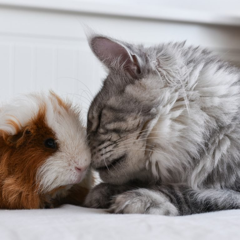 Maine coon cat touching noses with a guniea pig