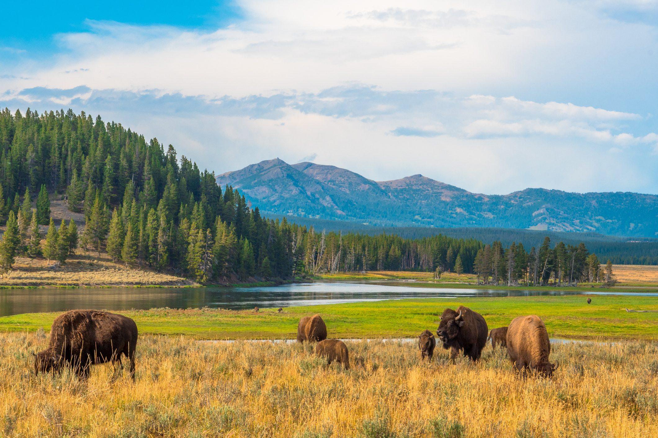 Buffalos grazing at Hayden Valley, Yellowstone, National Park, Wyoming, USA