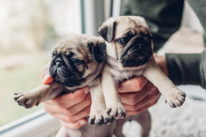 Young man holding two pug dog puppies in hands. Little puppies siblings.