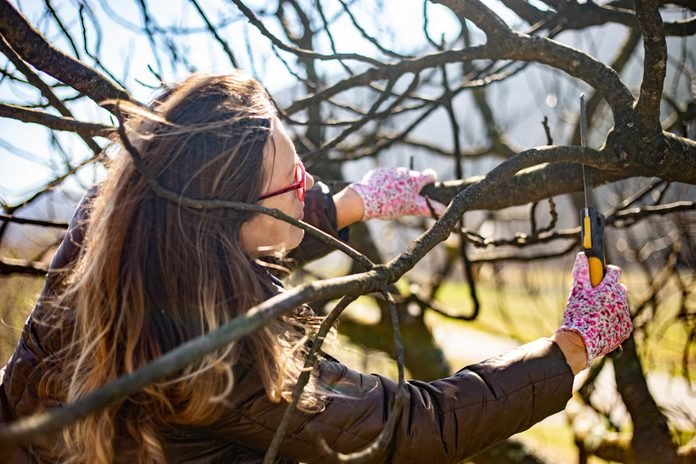 Adult Woman Pruning Fig Tree
