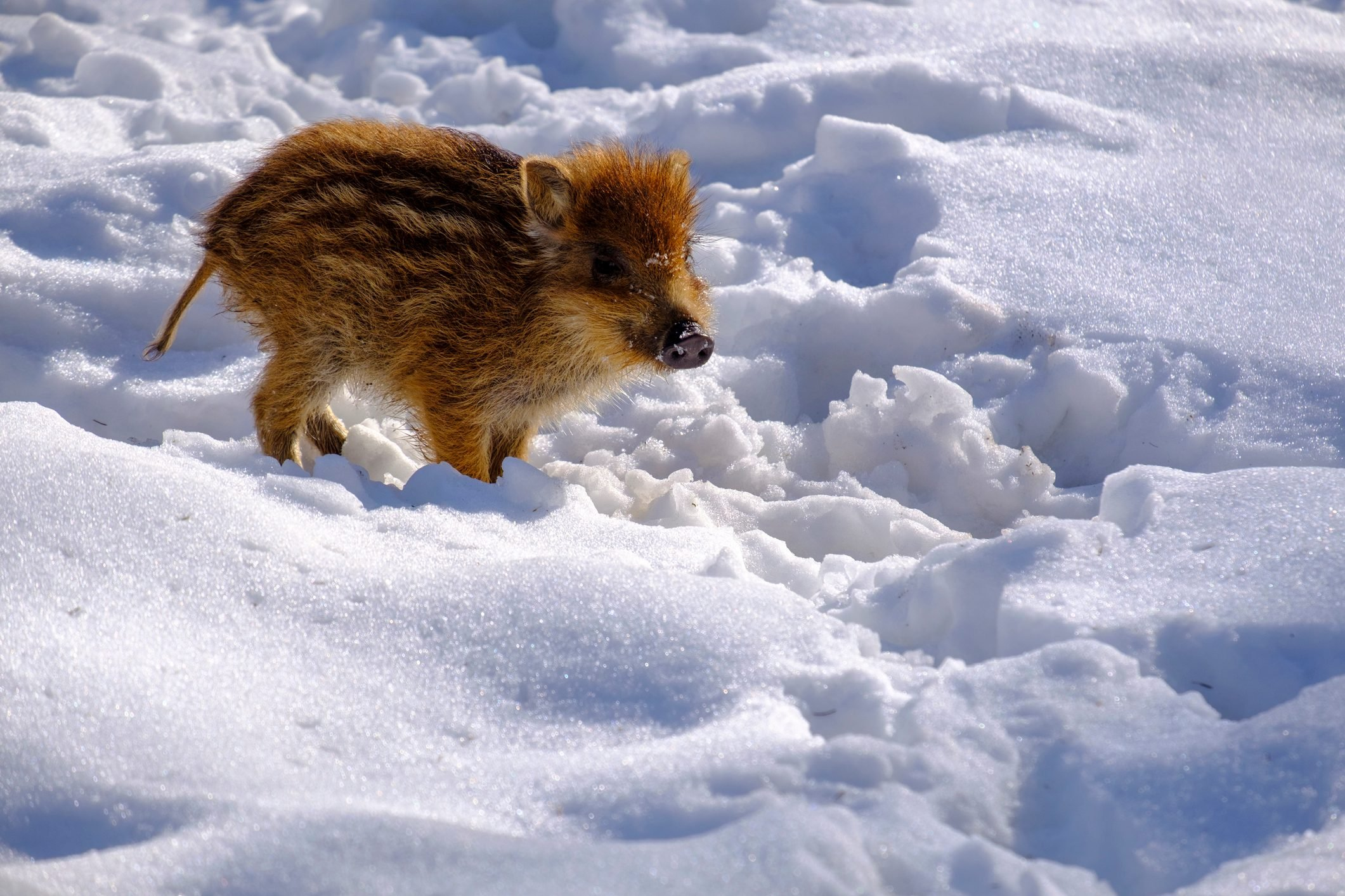 Wild boar shote in snow