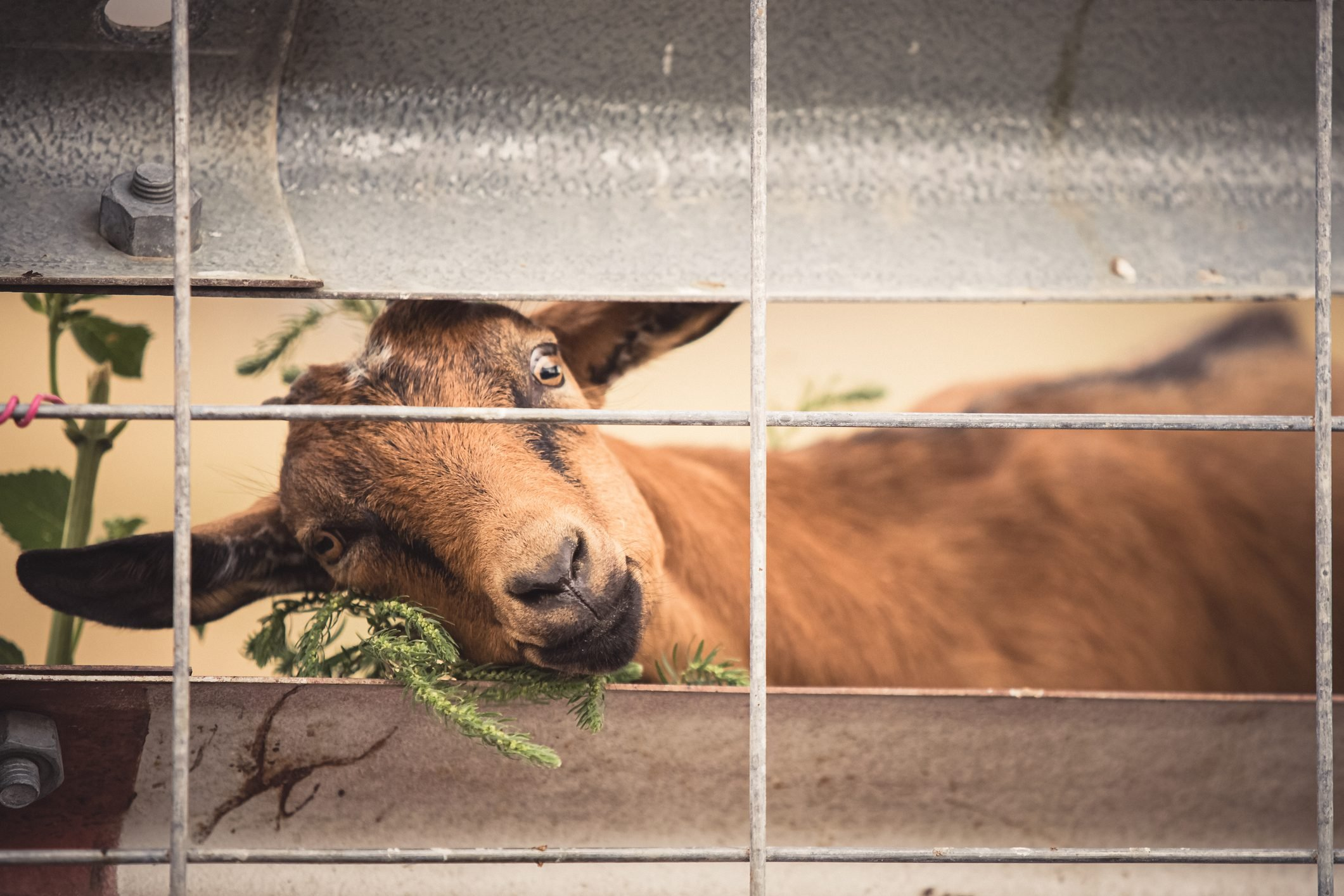Brown goat behind fence