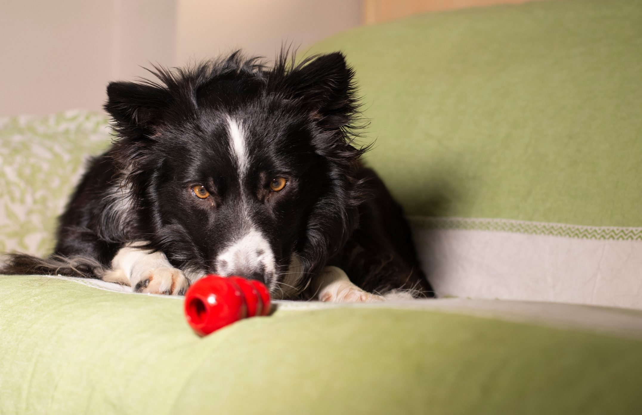 Beautiful border collie puppy stares at his Kong on the couch