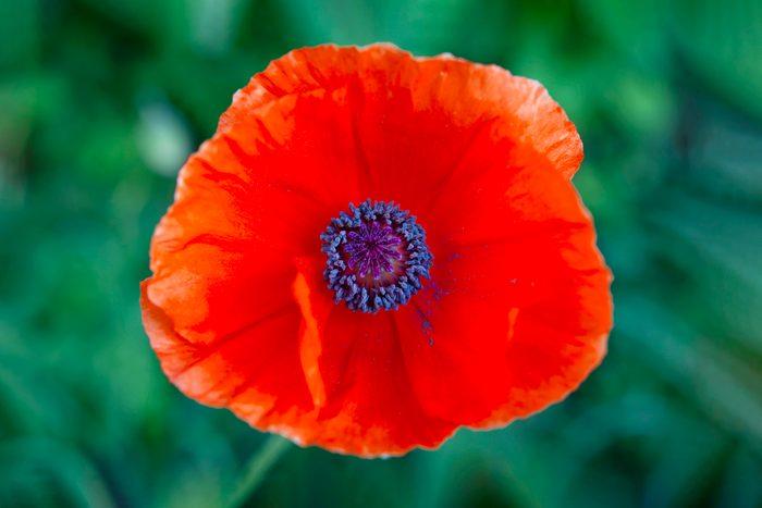 Red Poppy Flower On Green Background