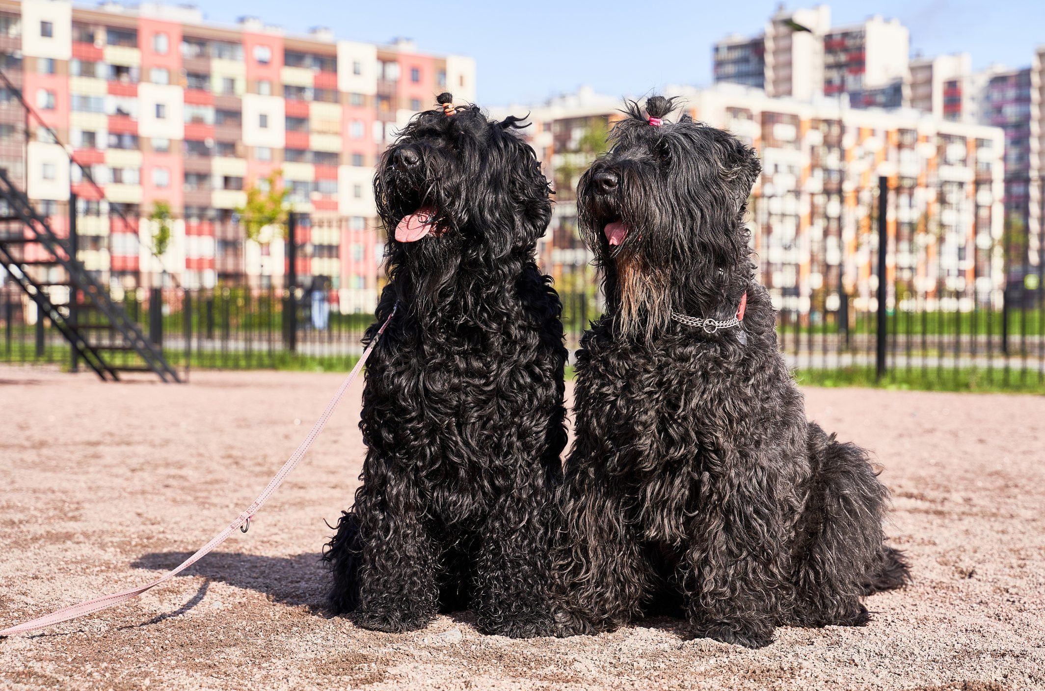 Two large curly Terrier black sitting outdoors