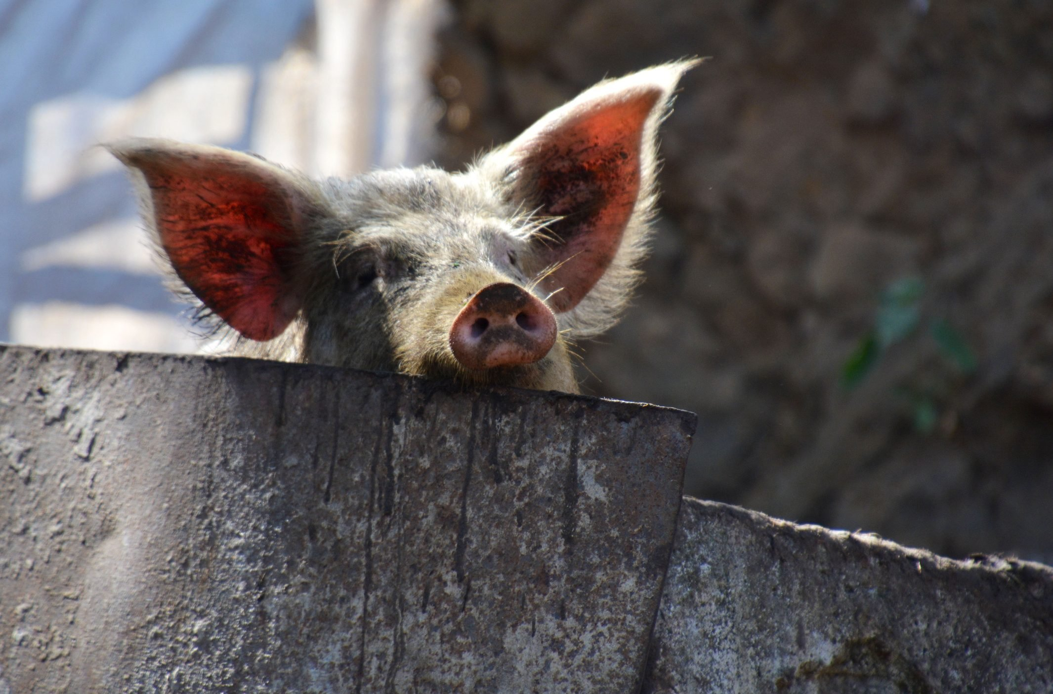 pig peering over a wall