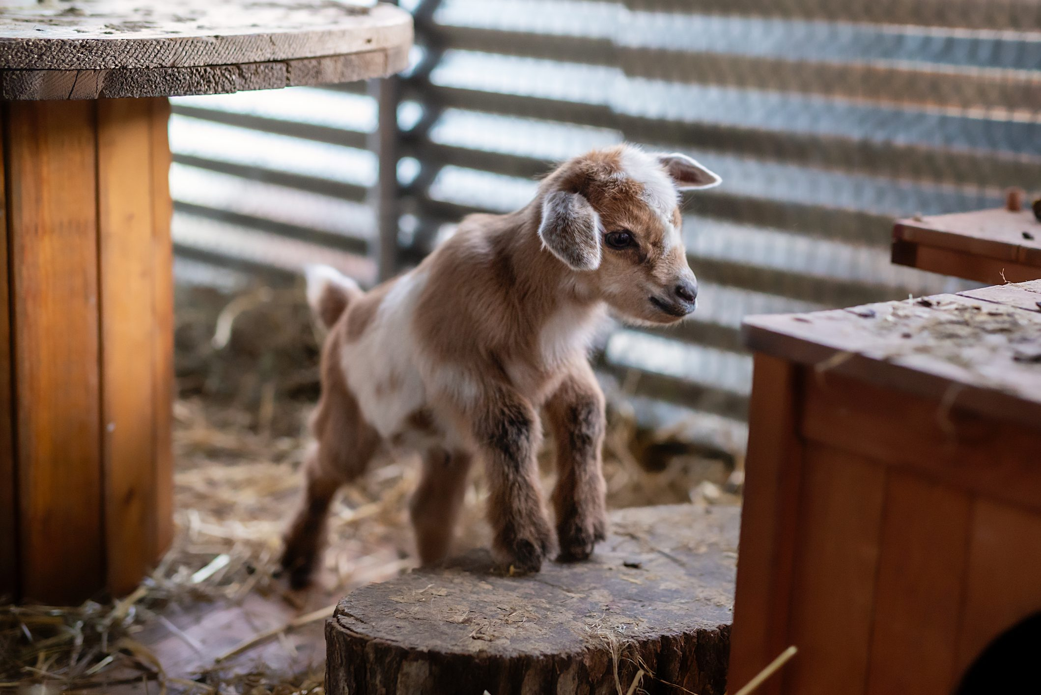 whole body view of a newborn baby goat in a pen