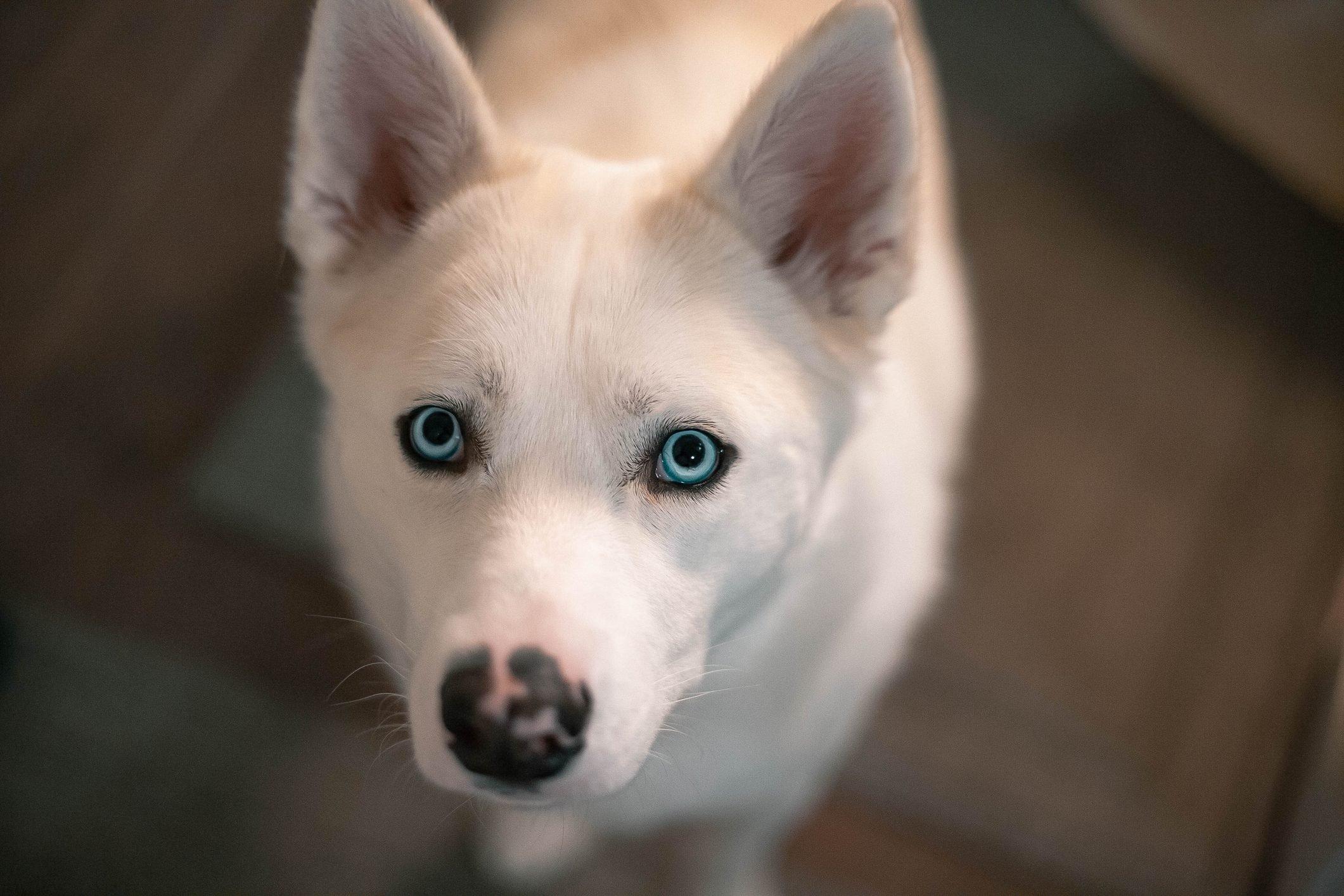 Husky Eyes