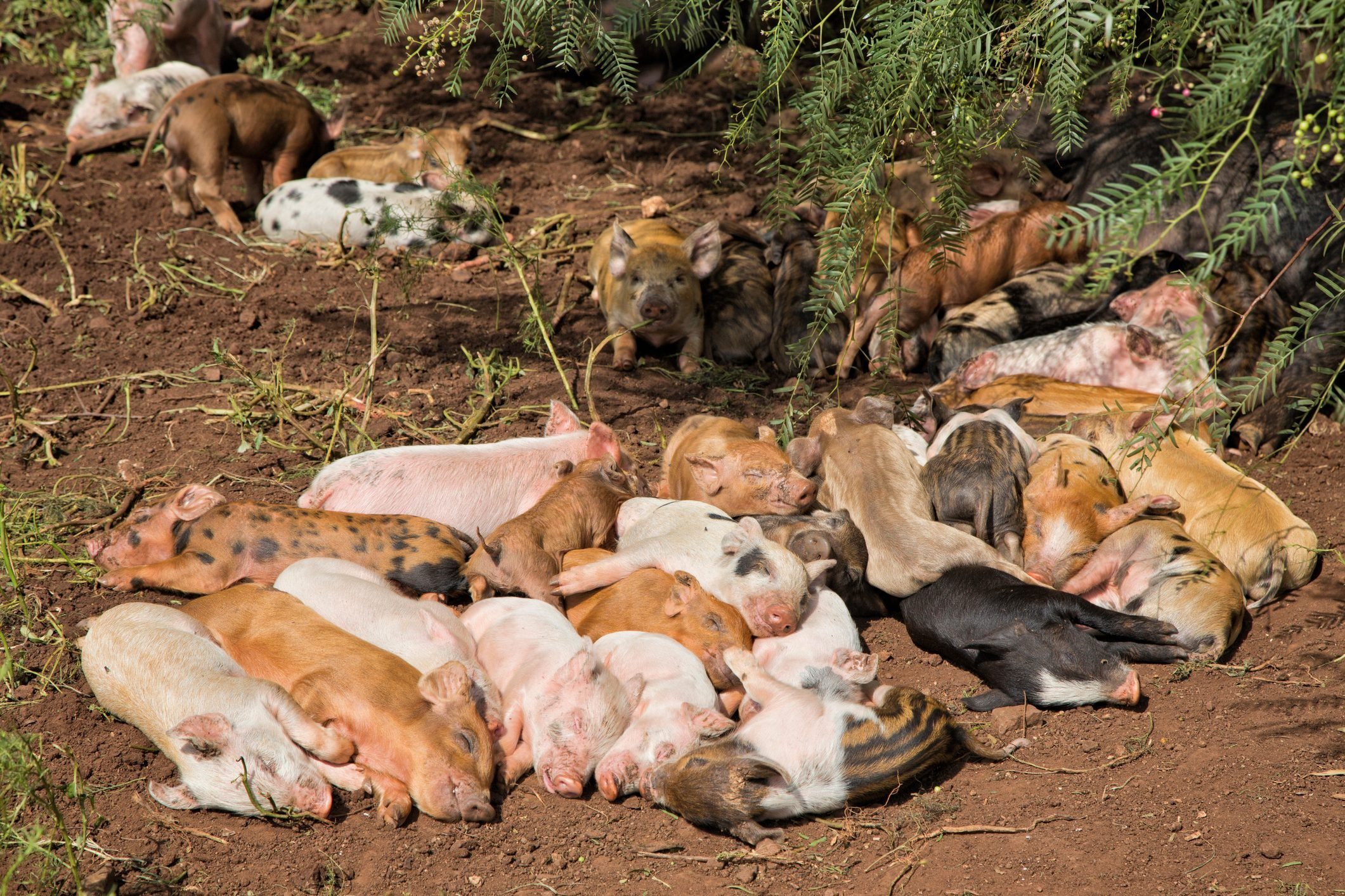 Large group of cute free range piglets lying huddled together sleeping
