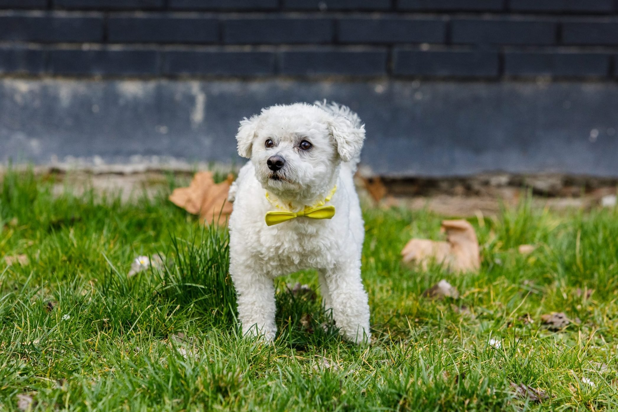 Cute Bichon dog with yellow ribbon outdoors