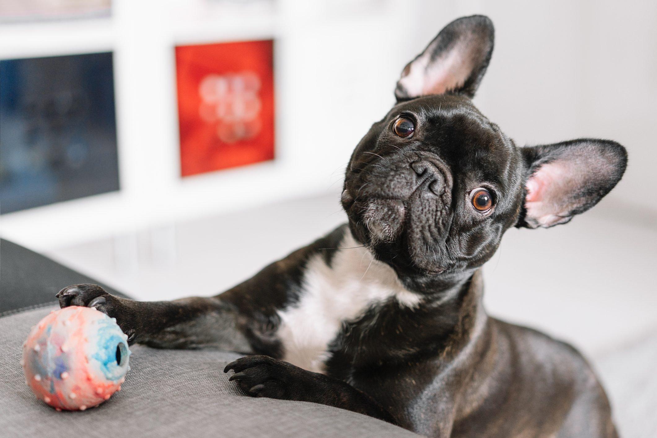 Close-Up Of A French Bulldog At Home